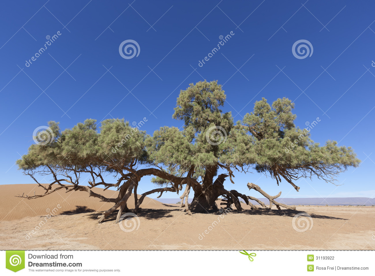 a single tamarisk tree tamarix articulata in the sahara desert stock photo image of. Black Bedroom Furniture Sets. Home Design Ideas