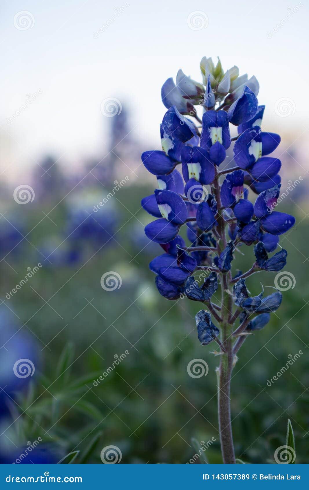 Single Texas Bluebonnet Bloom with bokeh background