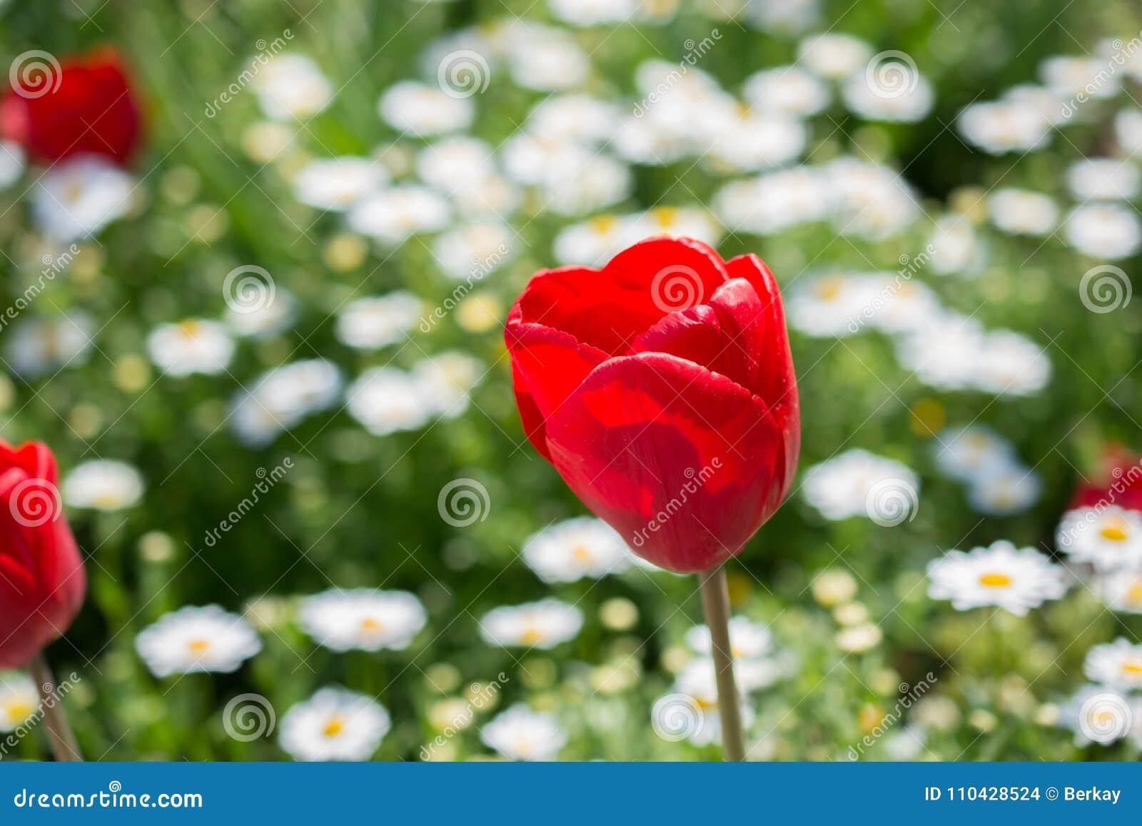 Single Tulip Flower In Spring Season Stock Photo Image Of