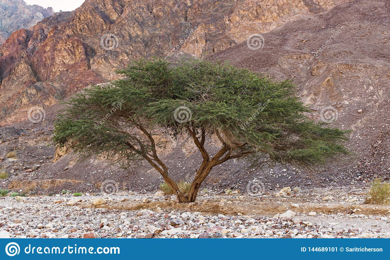 Umbrella Acacia in the Eilat Mountains of Israel