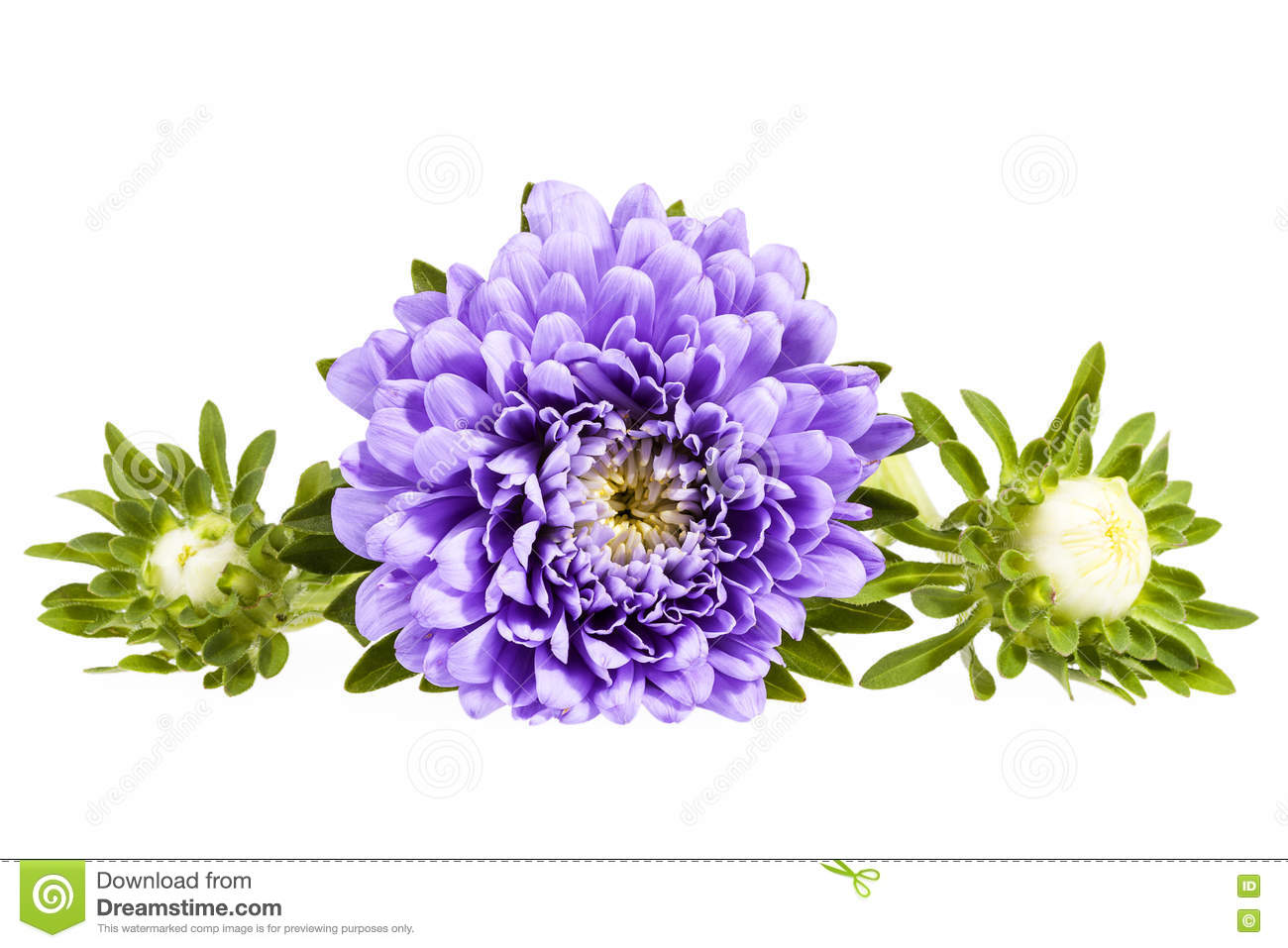 Flower Violet On A White Isolated Background With Clipping