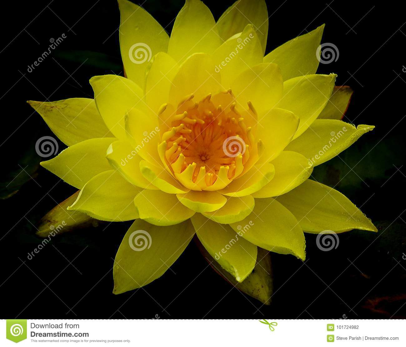 Single Vivid Yellow Lotus Flower In Full Bloom Against Dark