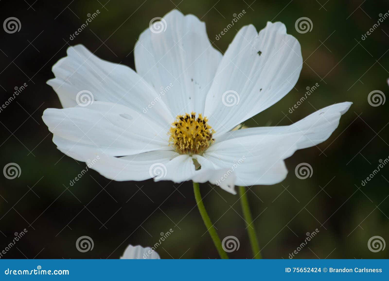Single white cosmo flower in nature stock photo image of garden single white cosmo flower in nature mightylinksfo