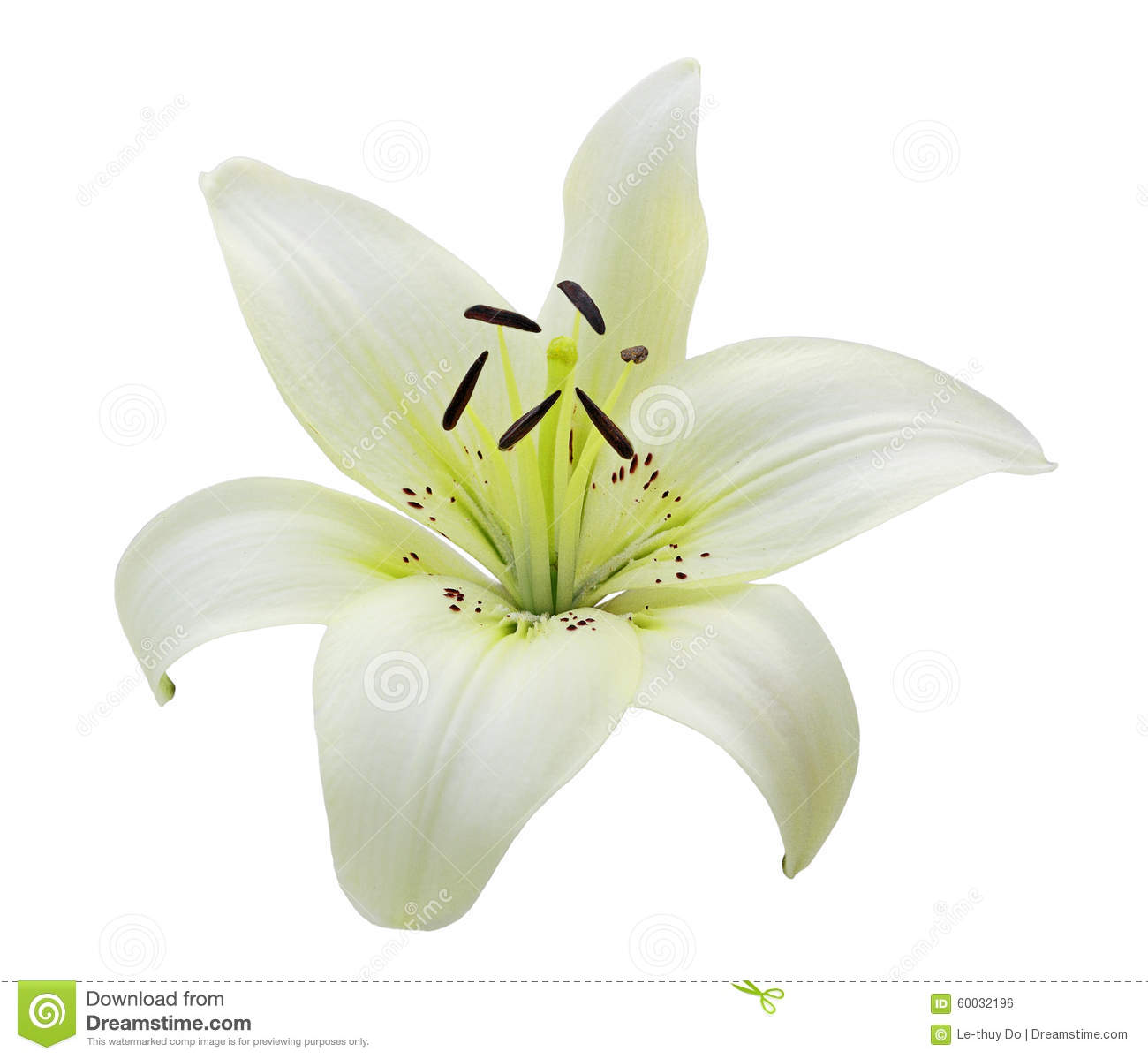 White lily flower pic of lily flower romantic flowers lily flower royaltyfree stock photo download single white lily izmirmasajfo Gallery