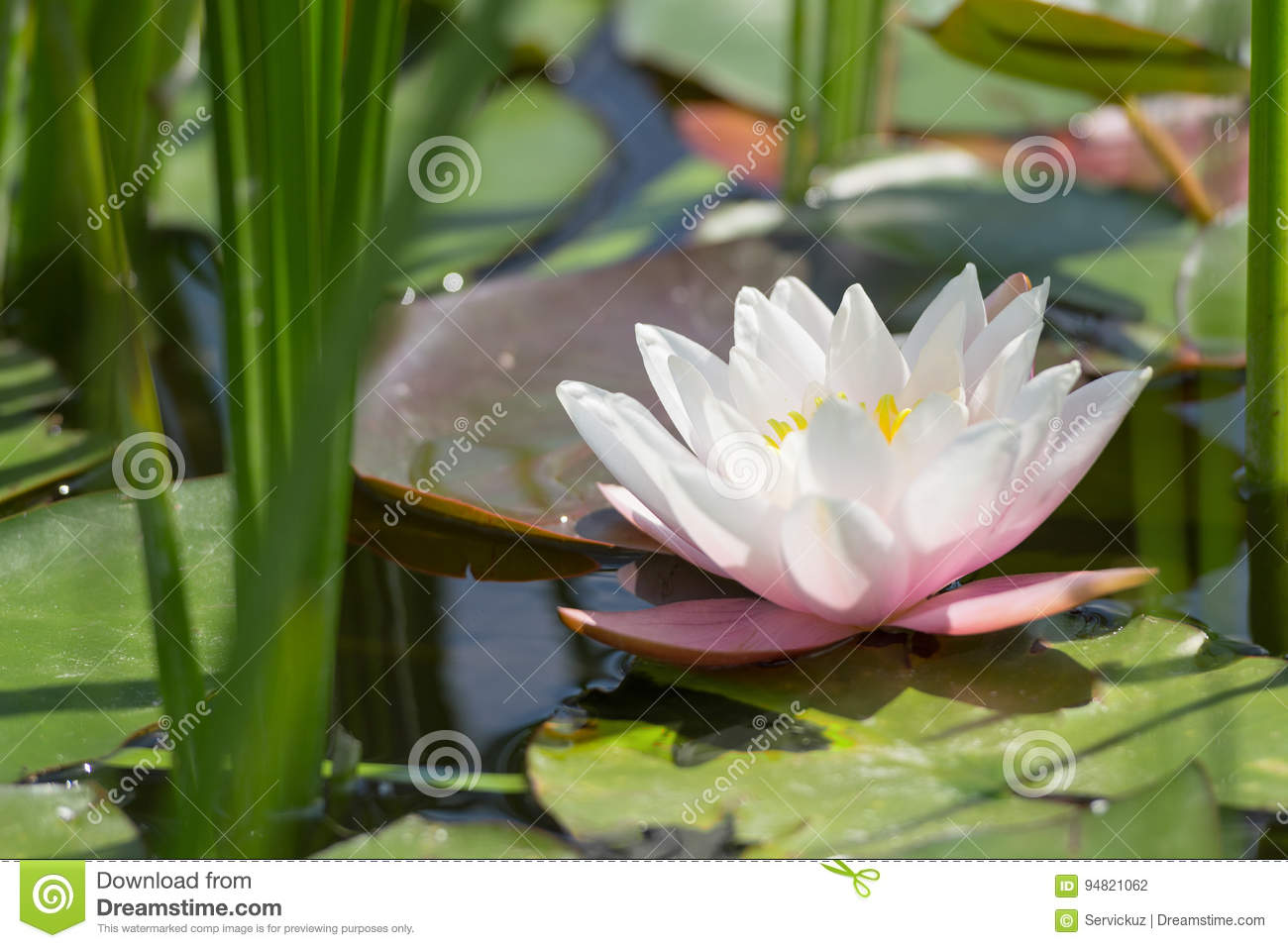 Single White And Pink Lotus Flower In Wild Pond Stock Photo Image