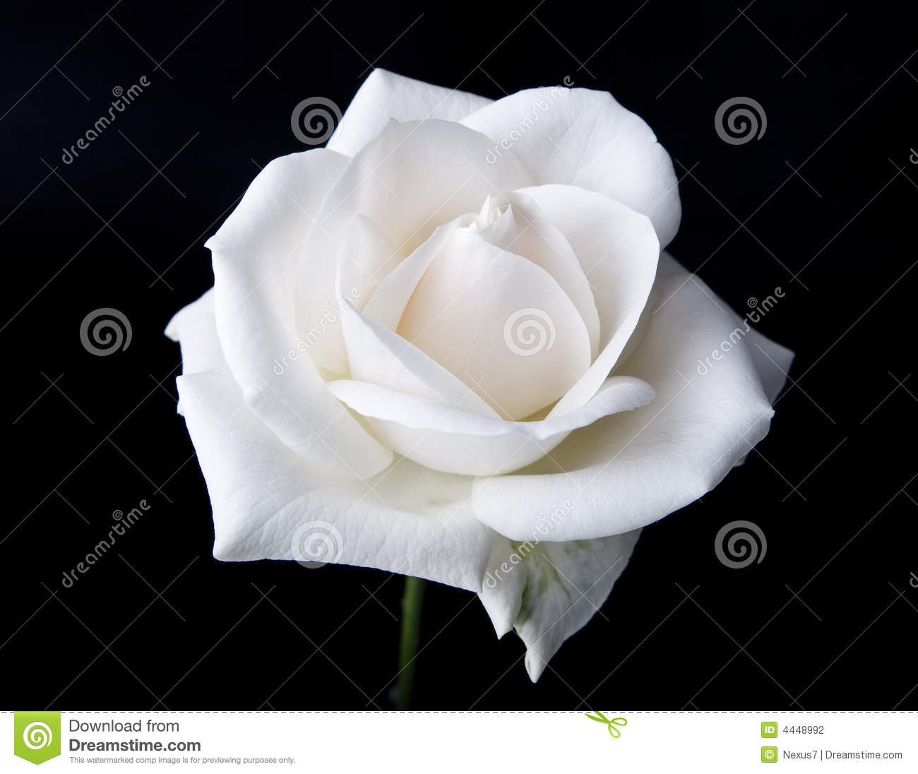 Single White Rose Stock Photography - Image: 4448992