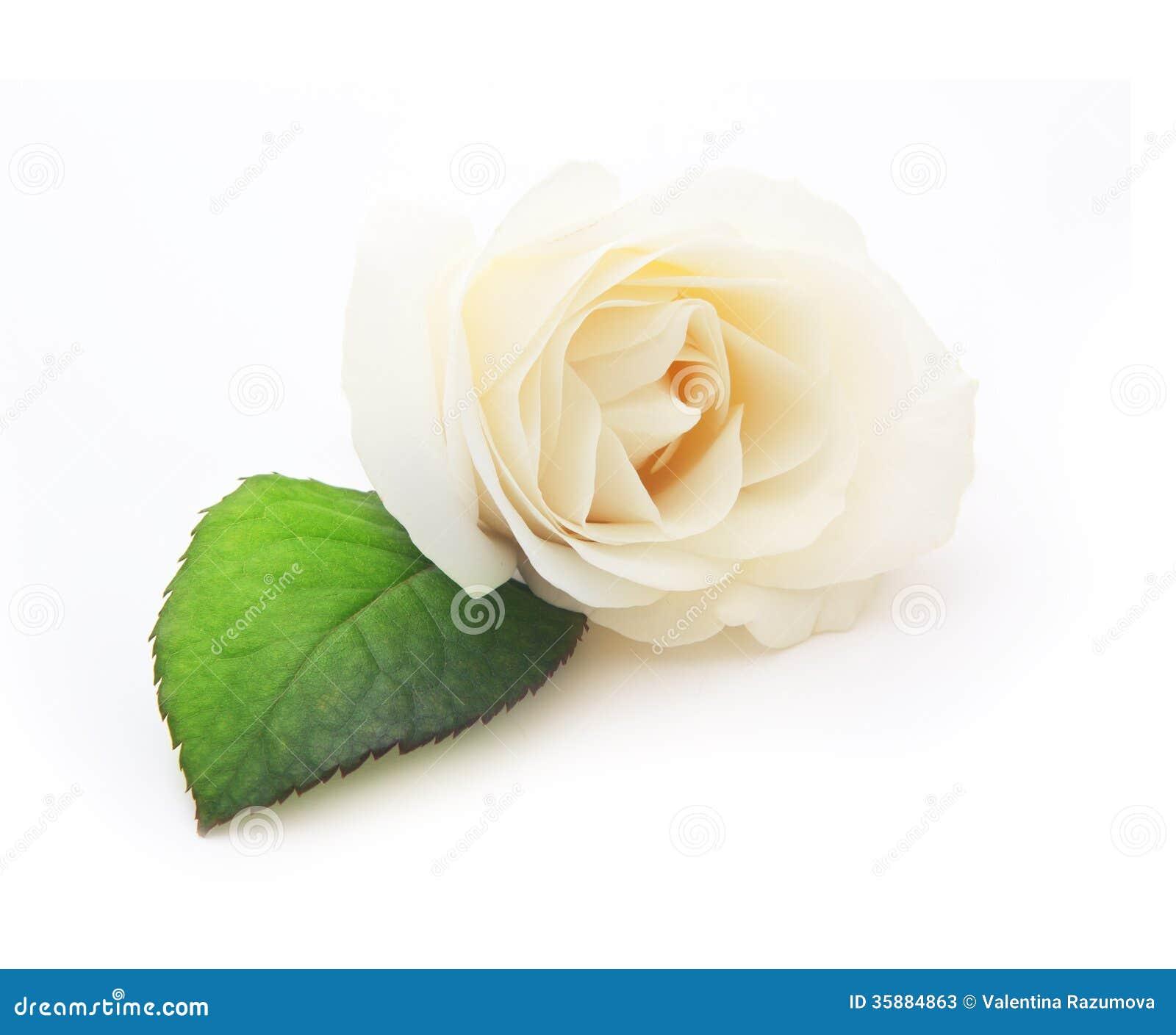 White Rose White Background
