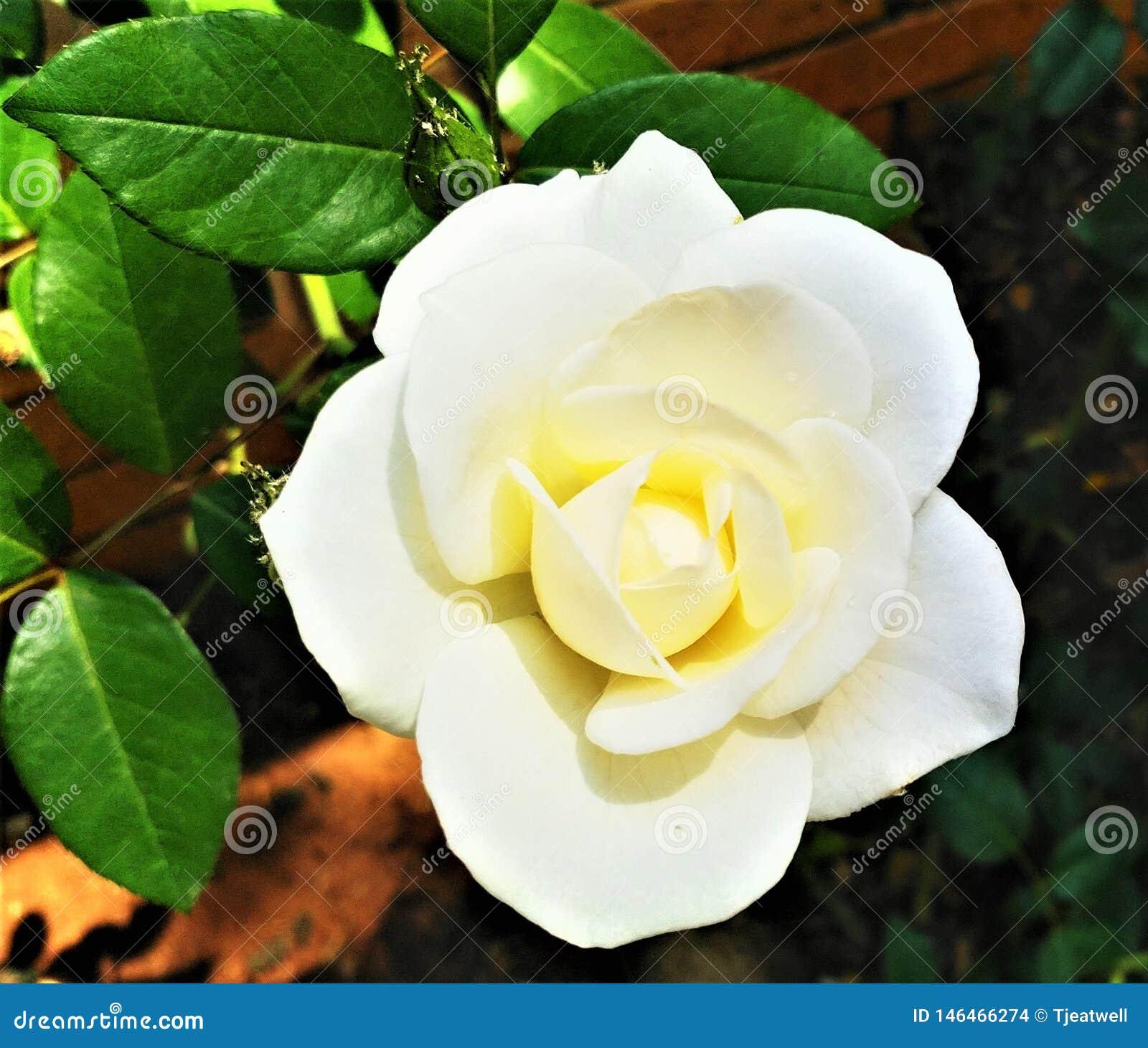 Single White Rose in a Garden