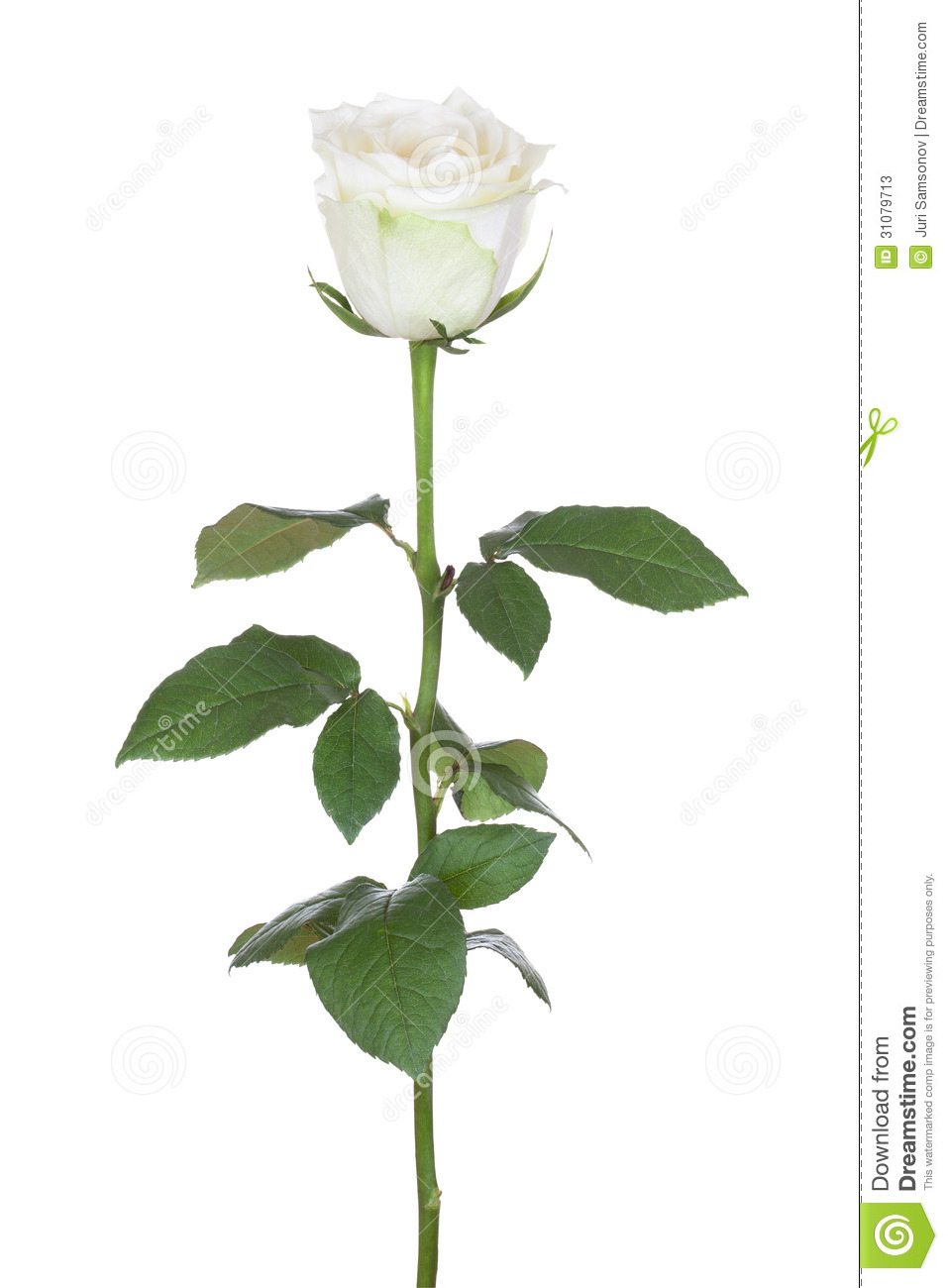 White Rose With Stem