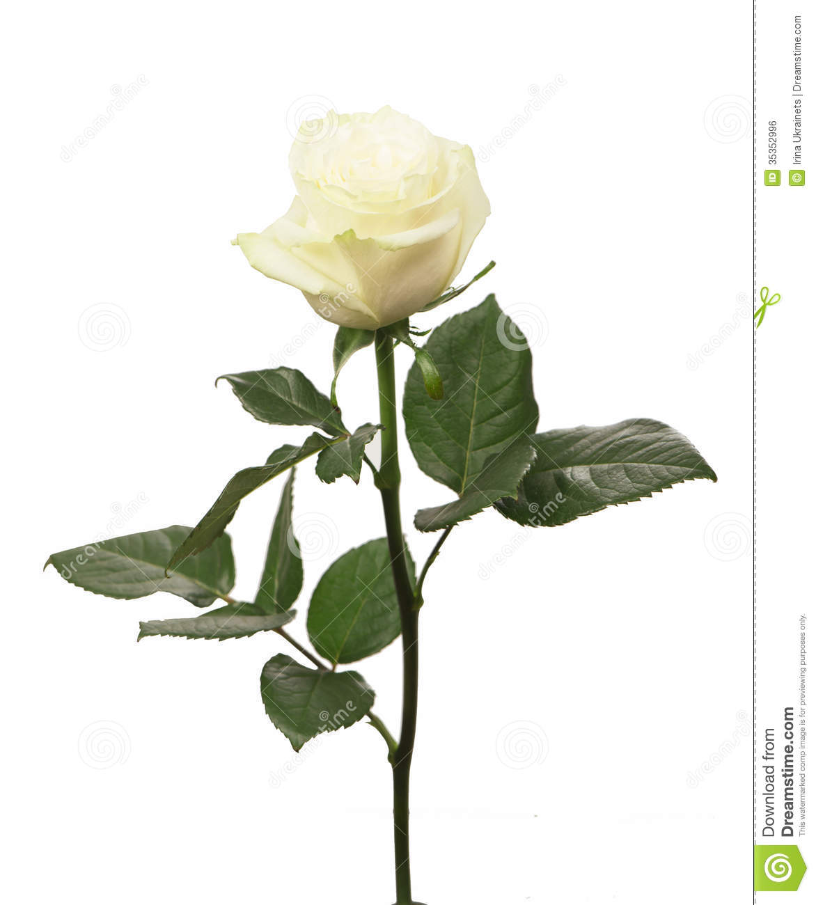 Single White Rose Royalty Free Stock Image - Image: 35352996