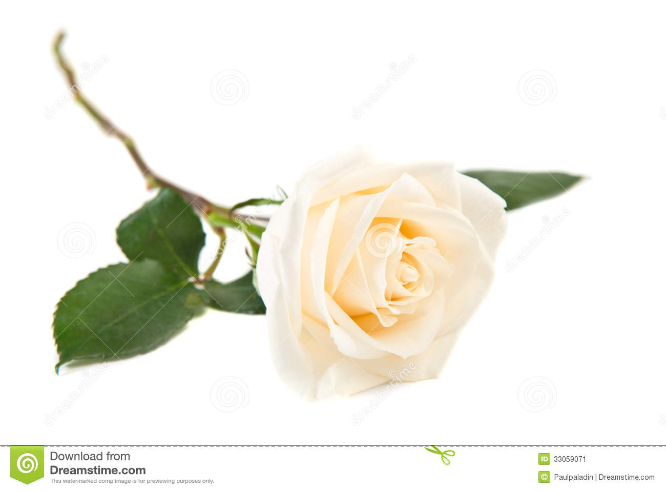 Single White Rose Stock Image - Image: 33059071