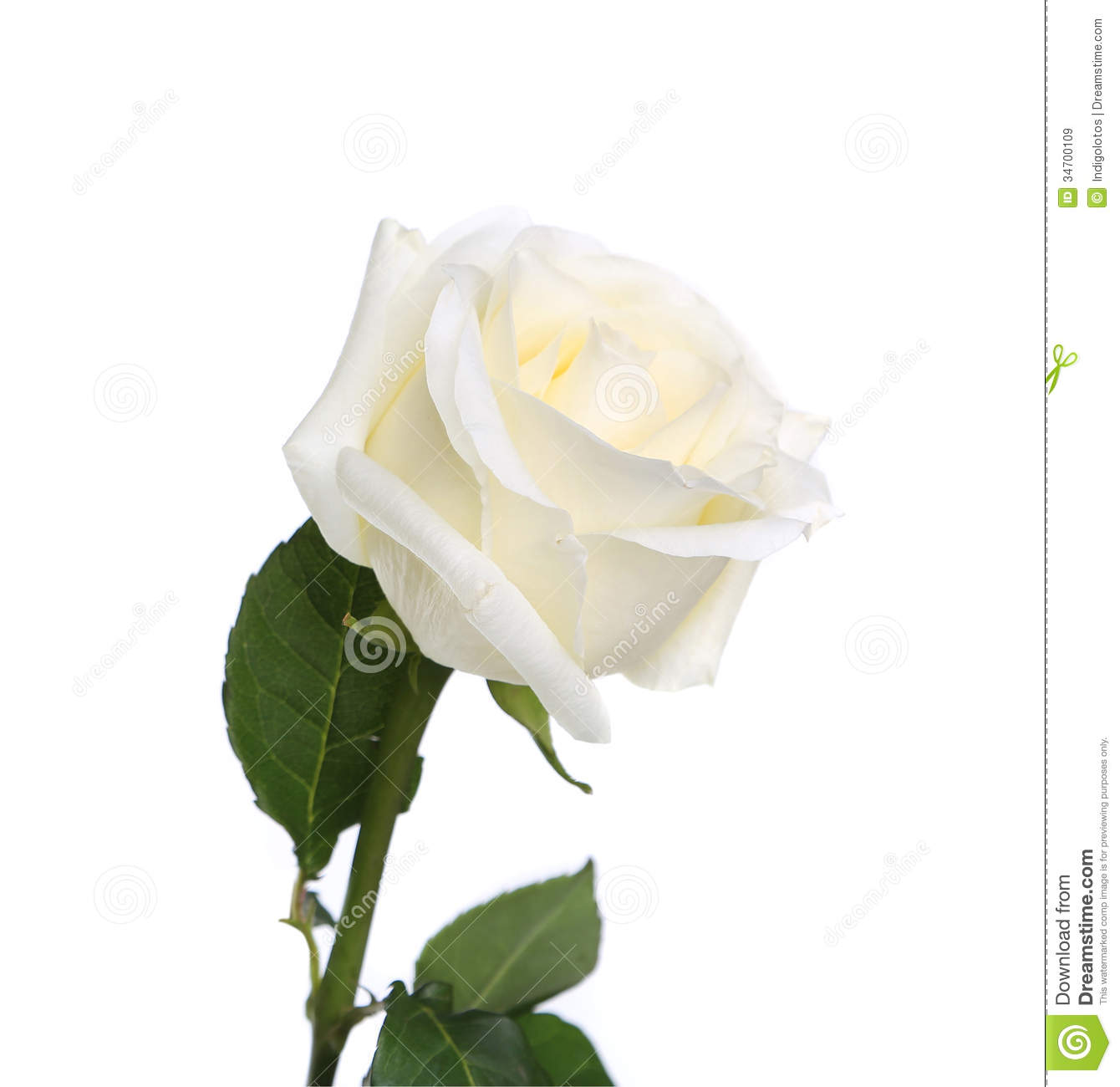 White Rose White Background