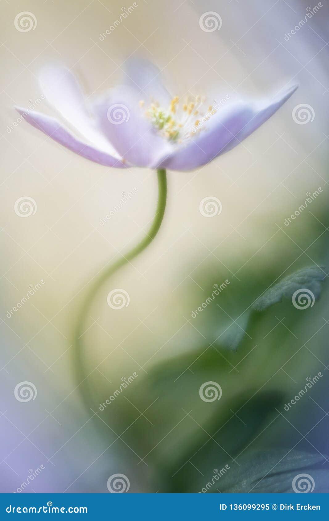 Single white wild flower, a wood anemone