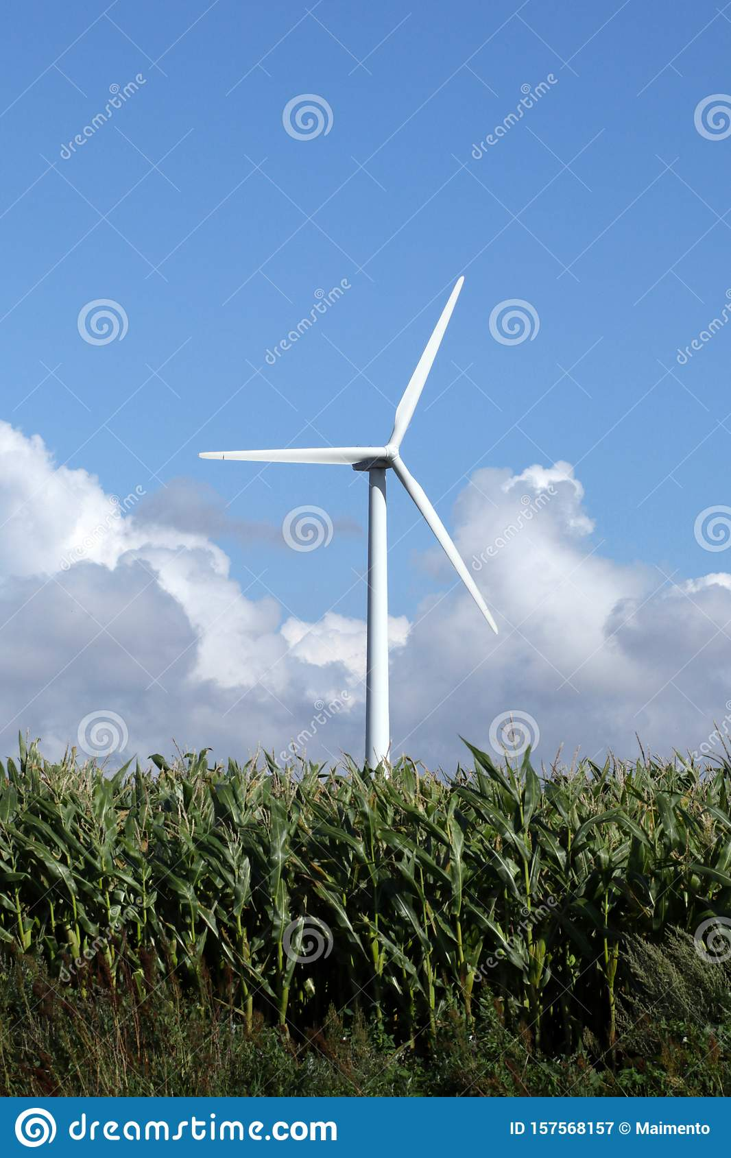 Single white wind turbine in corn field standing high
