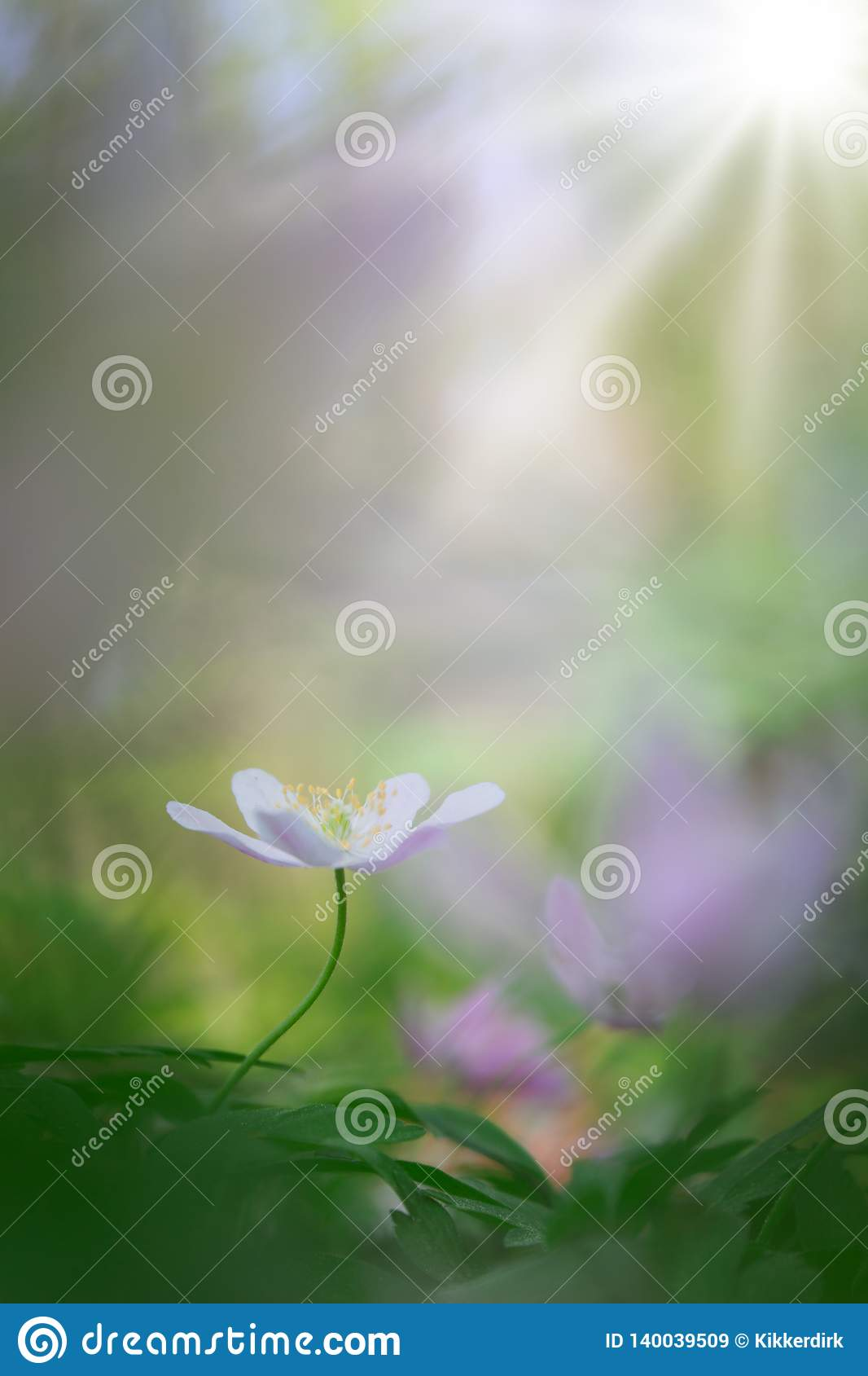 Single white wood anemone in pristine dreamy spring forest
