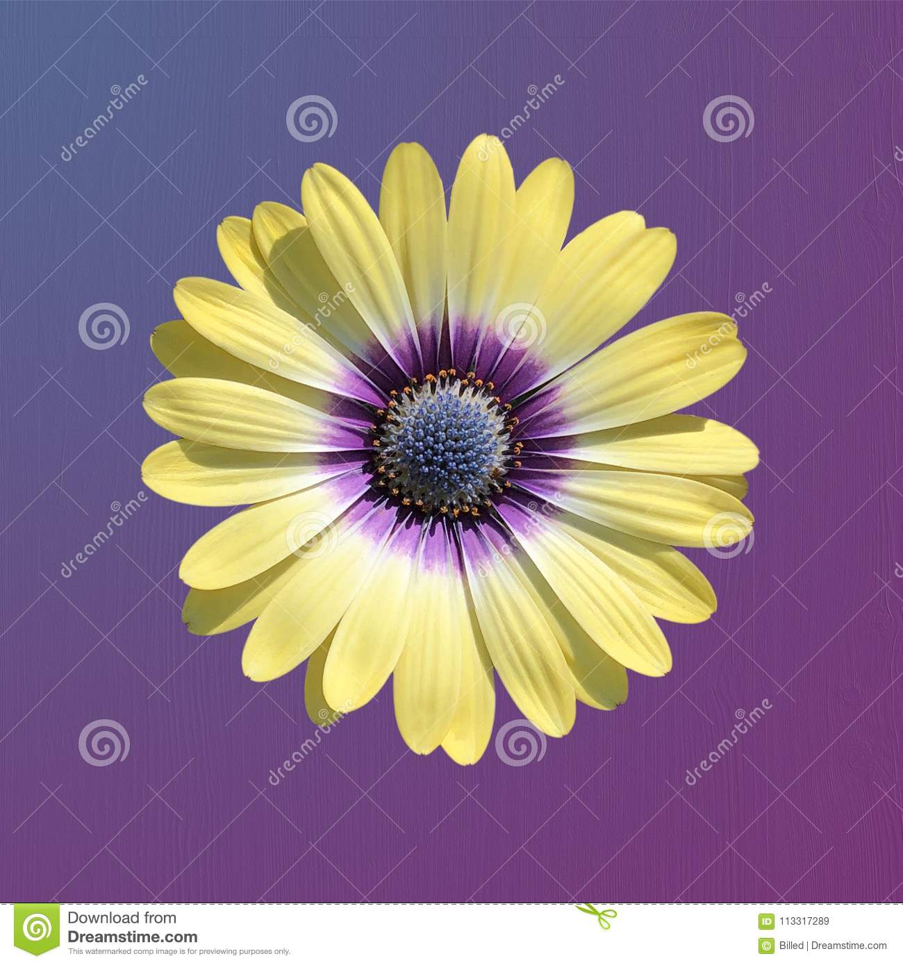 Single Yellow Daisy Flower On A Blue And Purple Gradient Background