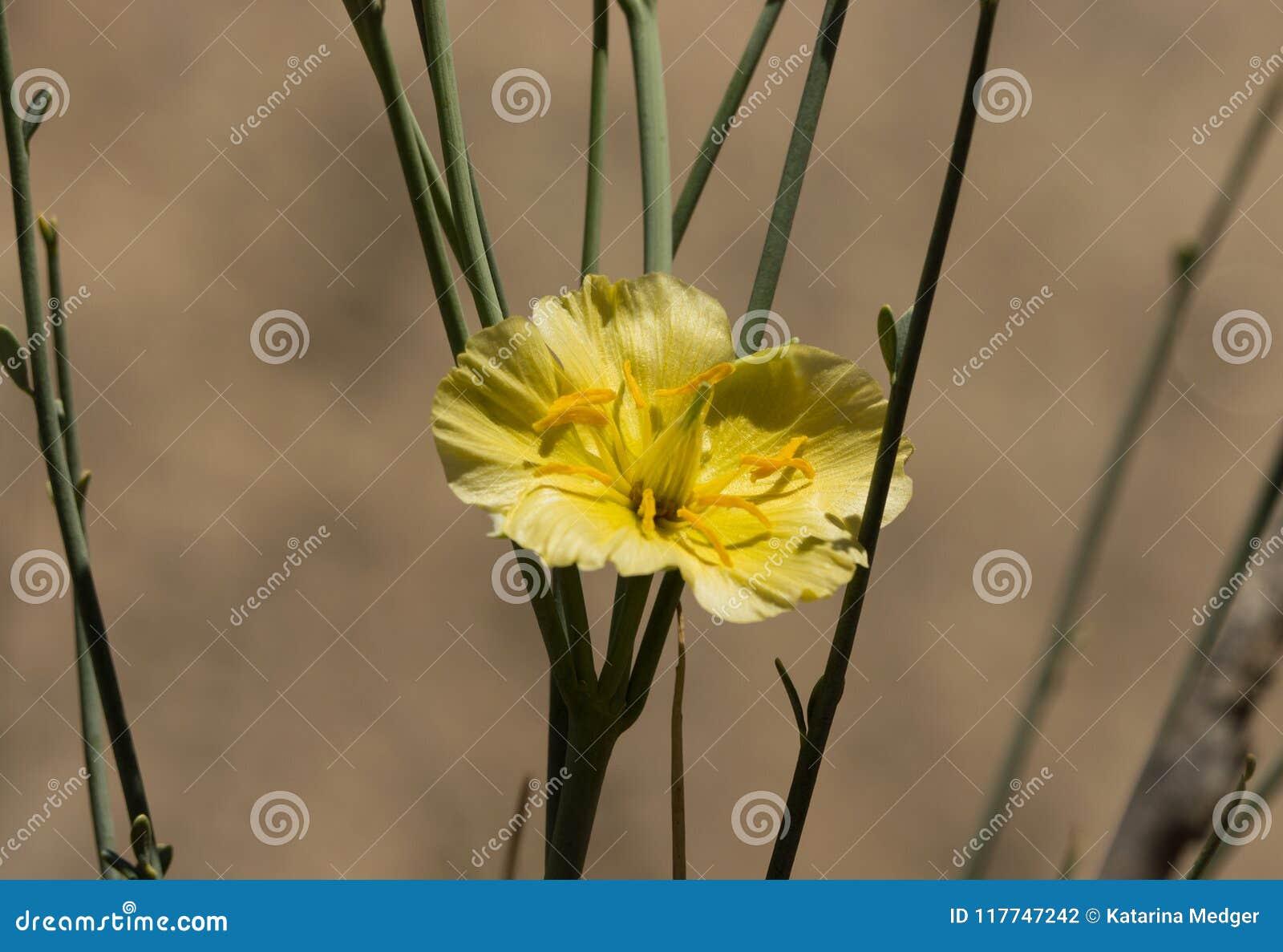 Single Yellow Flower Of A Desert Broom Stock Photo Image Of