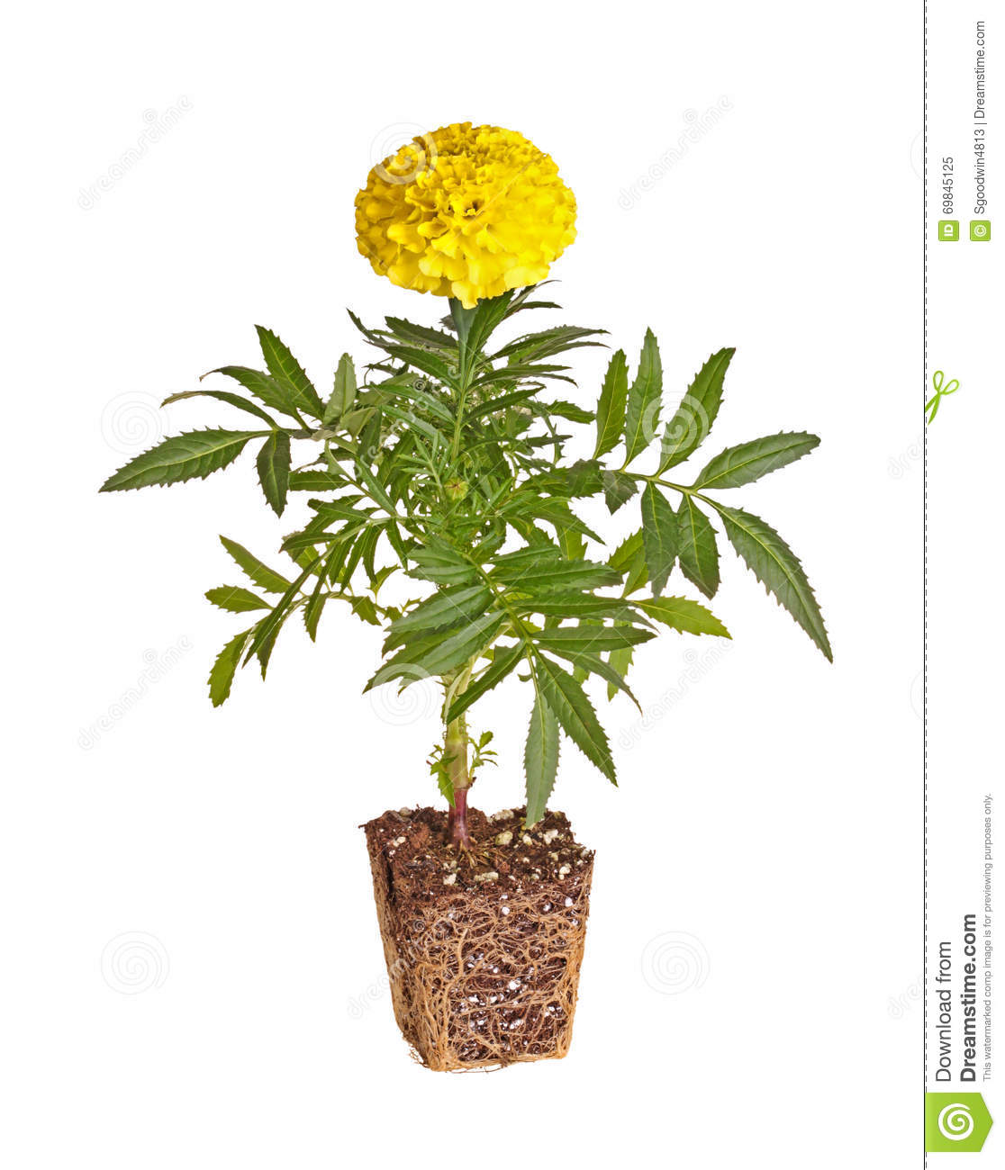 Single Yellow-flowered Marigold Seedling Showing Rootball ... Marigold Plant With Roots
