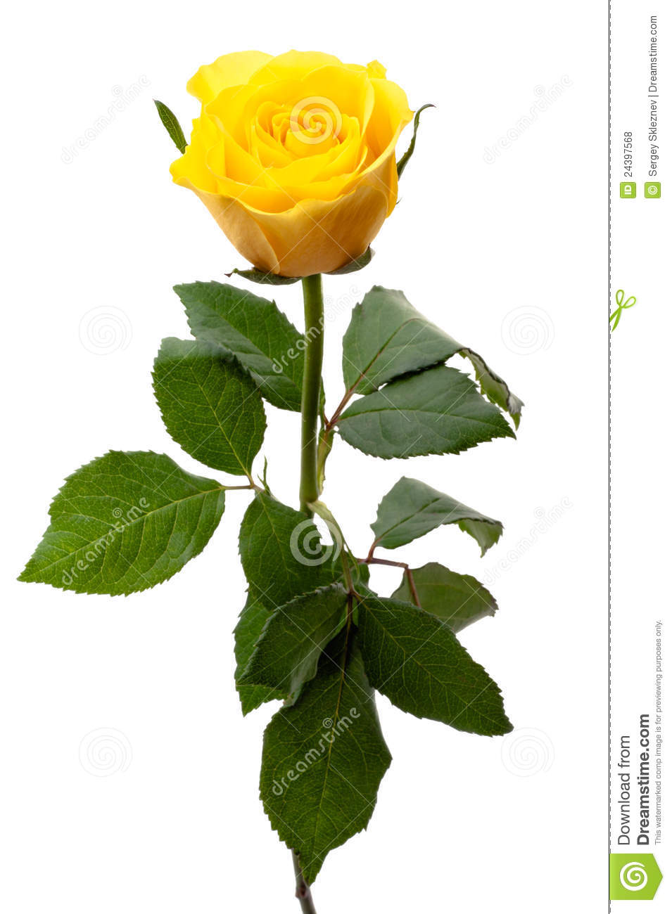 Single Yellow Rose Stock Photo Image Of Blossom Anniversary 24397568