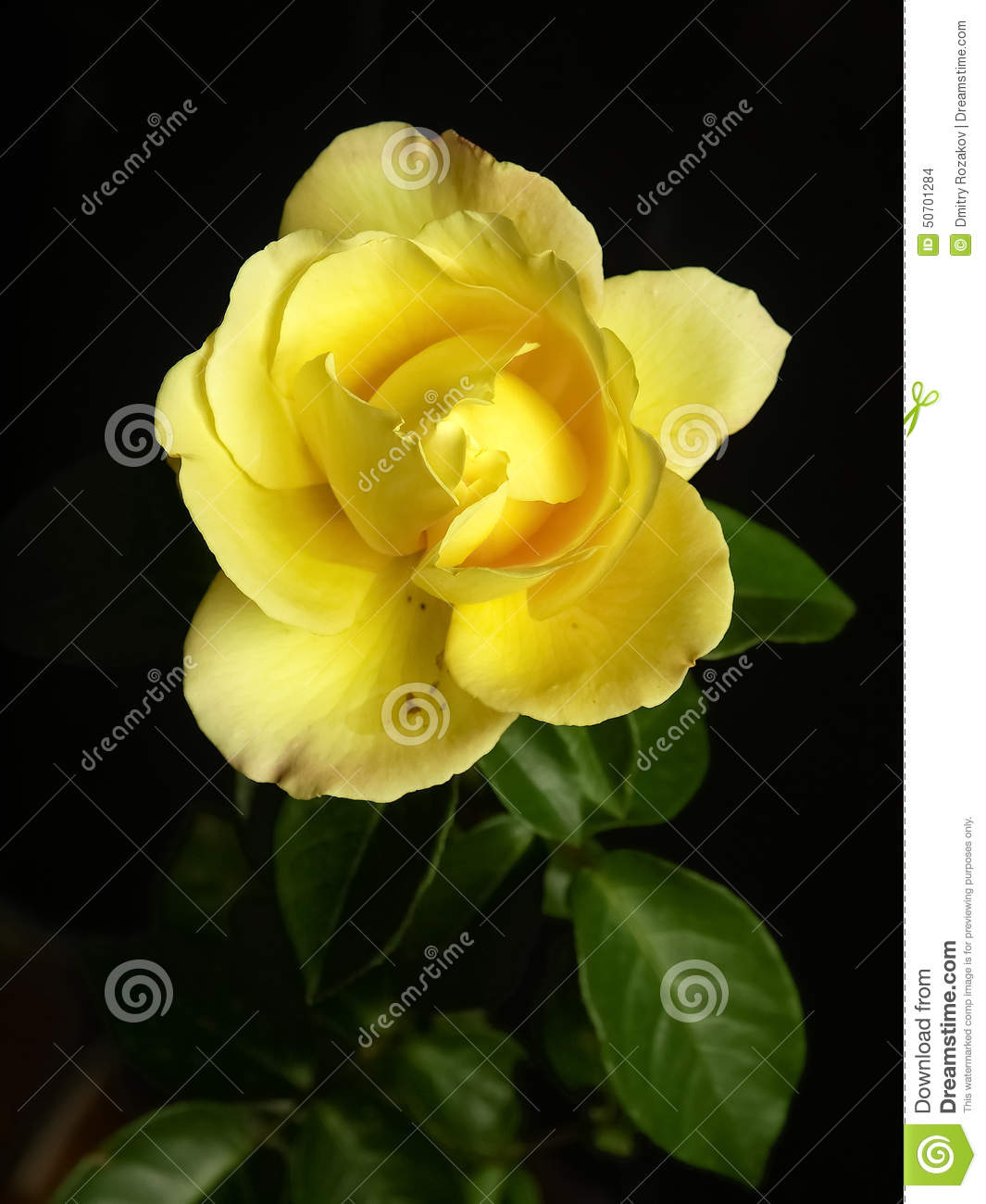 Single Yellow Rose In A Black Background Stock Photo ...