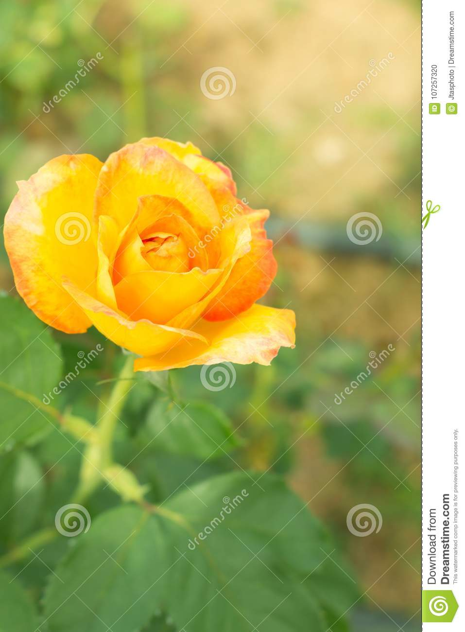 Single Yellow Rose Stock Photo Image Of Meaning Present 107257320