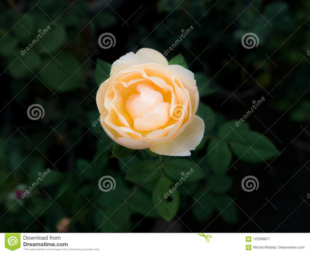 Yellow Rose Flower Blooming Stock Image Image Of Abstract Close