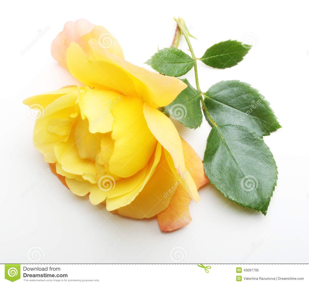 Single Yellow Rose Flower With Leaf Stock Image Image Of Nature