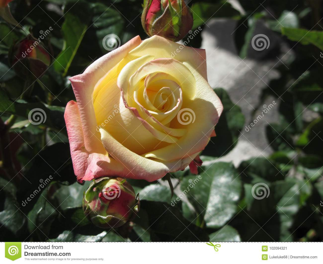 Single Yellow Rose Flower In Spring Stock Image Image Of Leaf
