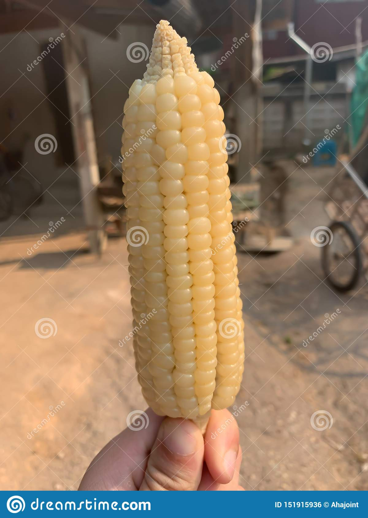 A yellow sweet corn for background