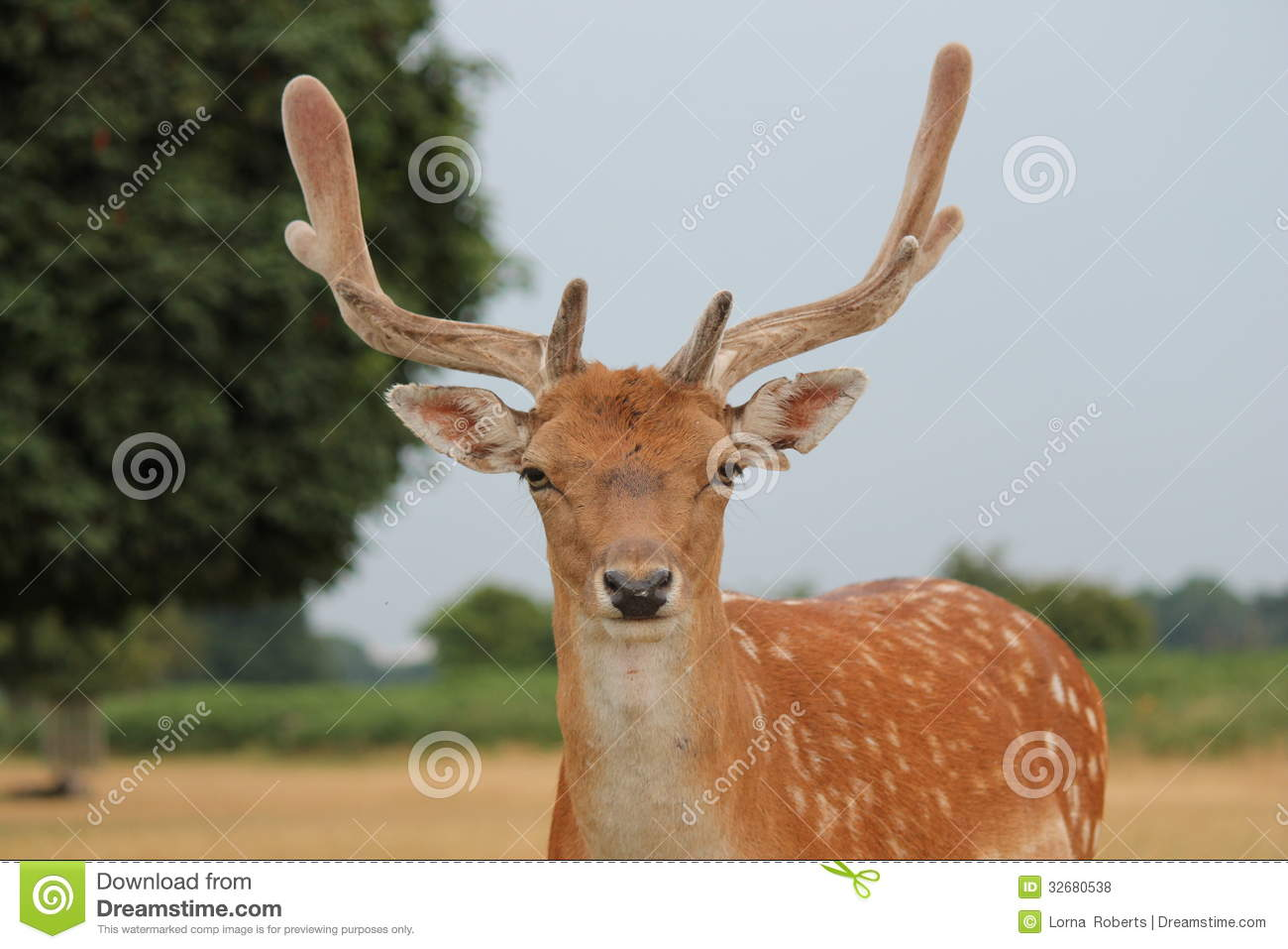deer fallow stag close up with antlers