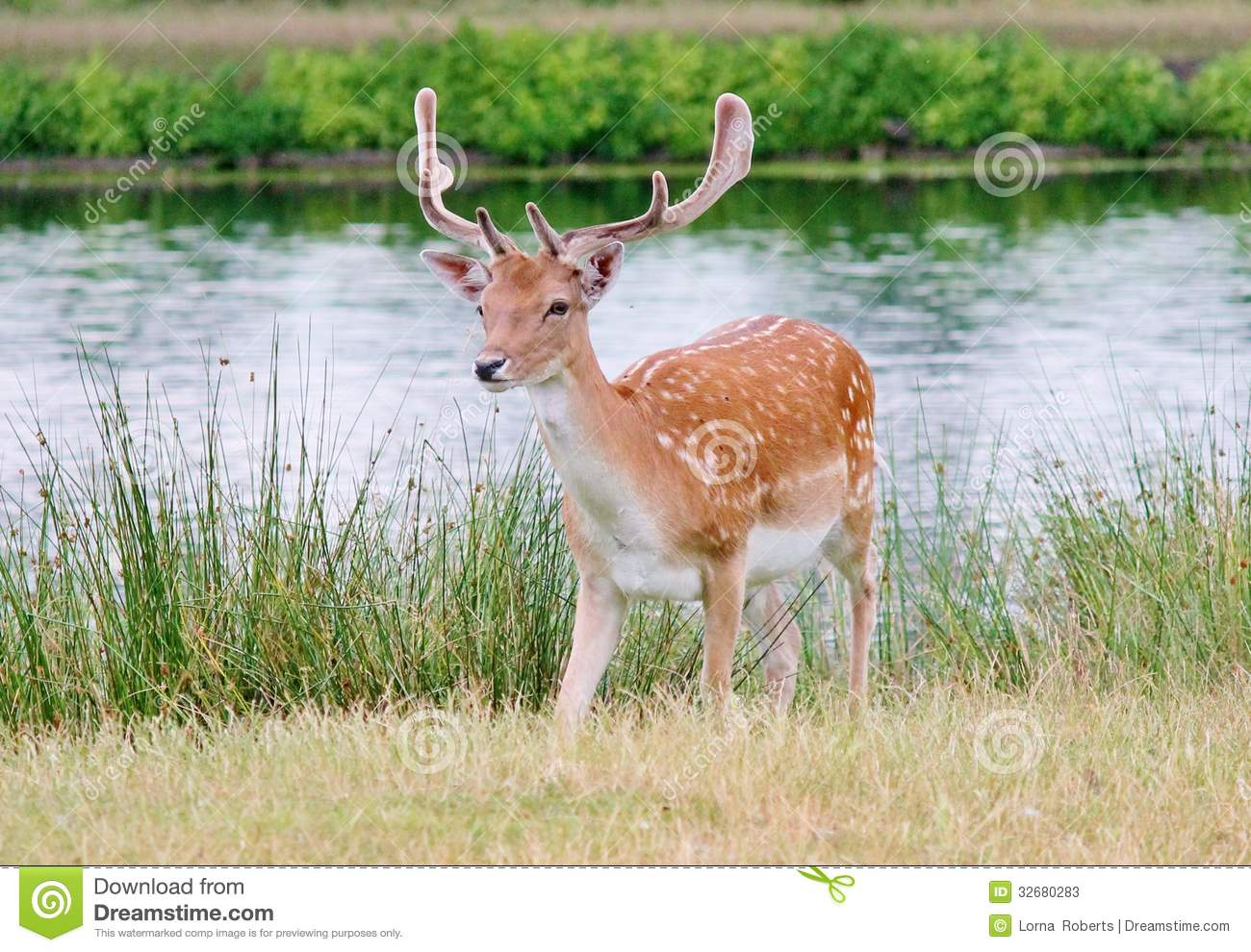 deer stag fallow with antlers single young
