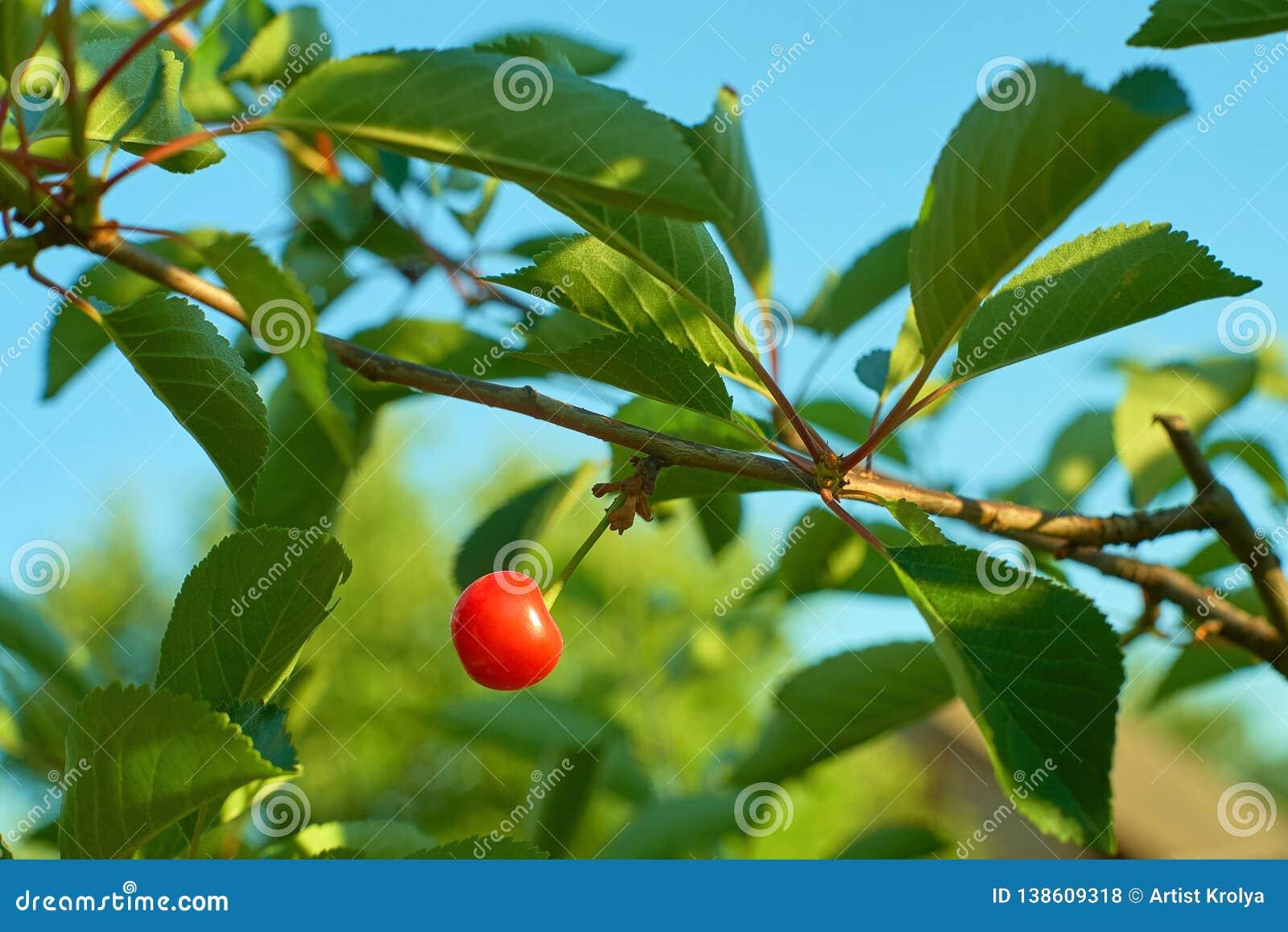 Singola frutta matura della ciliegia che appende sul ramo