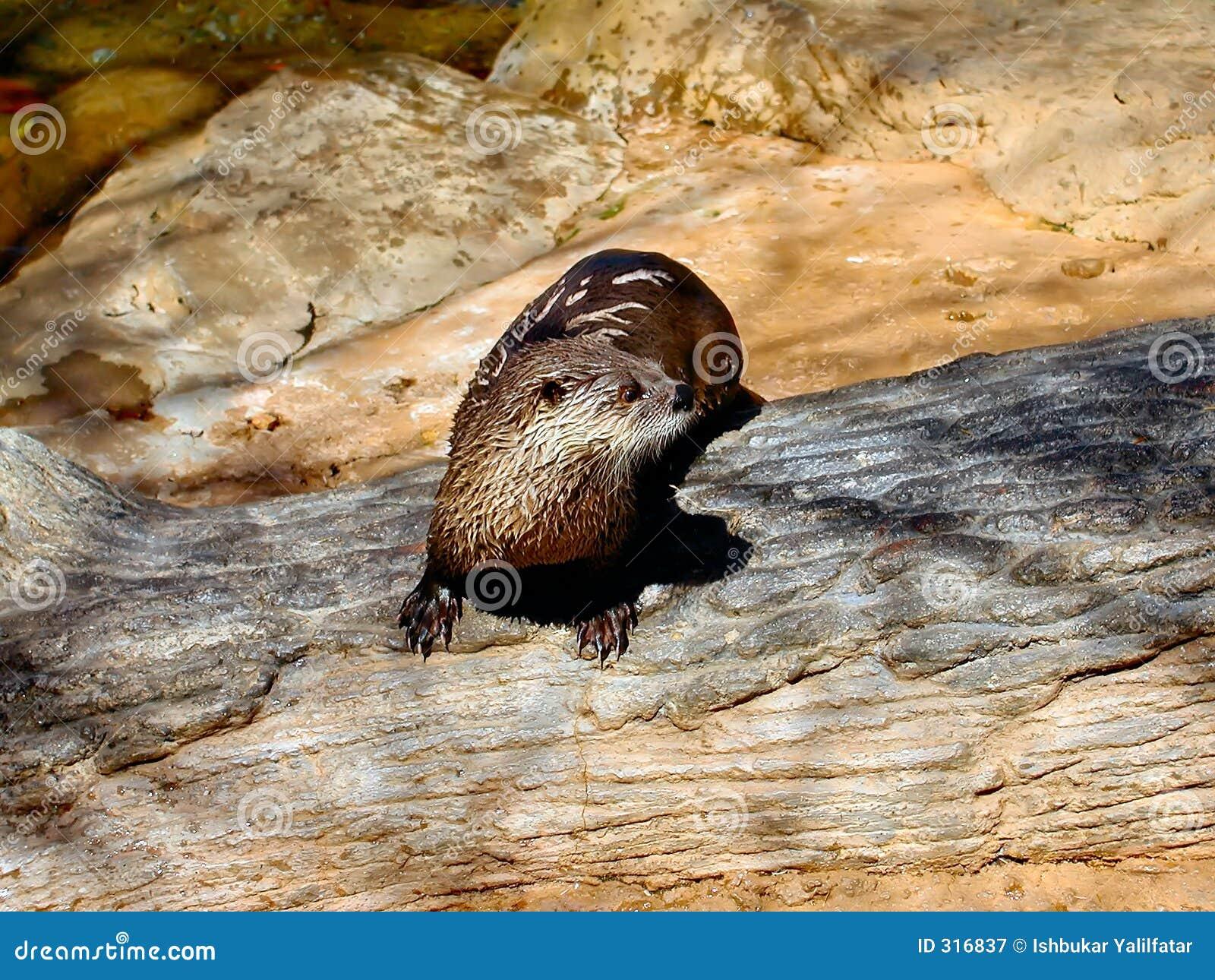 Singola lontra di fiume
