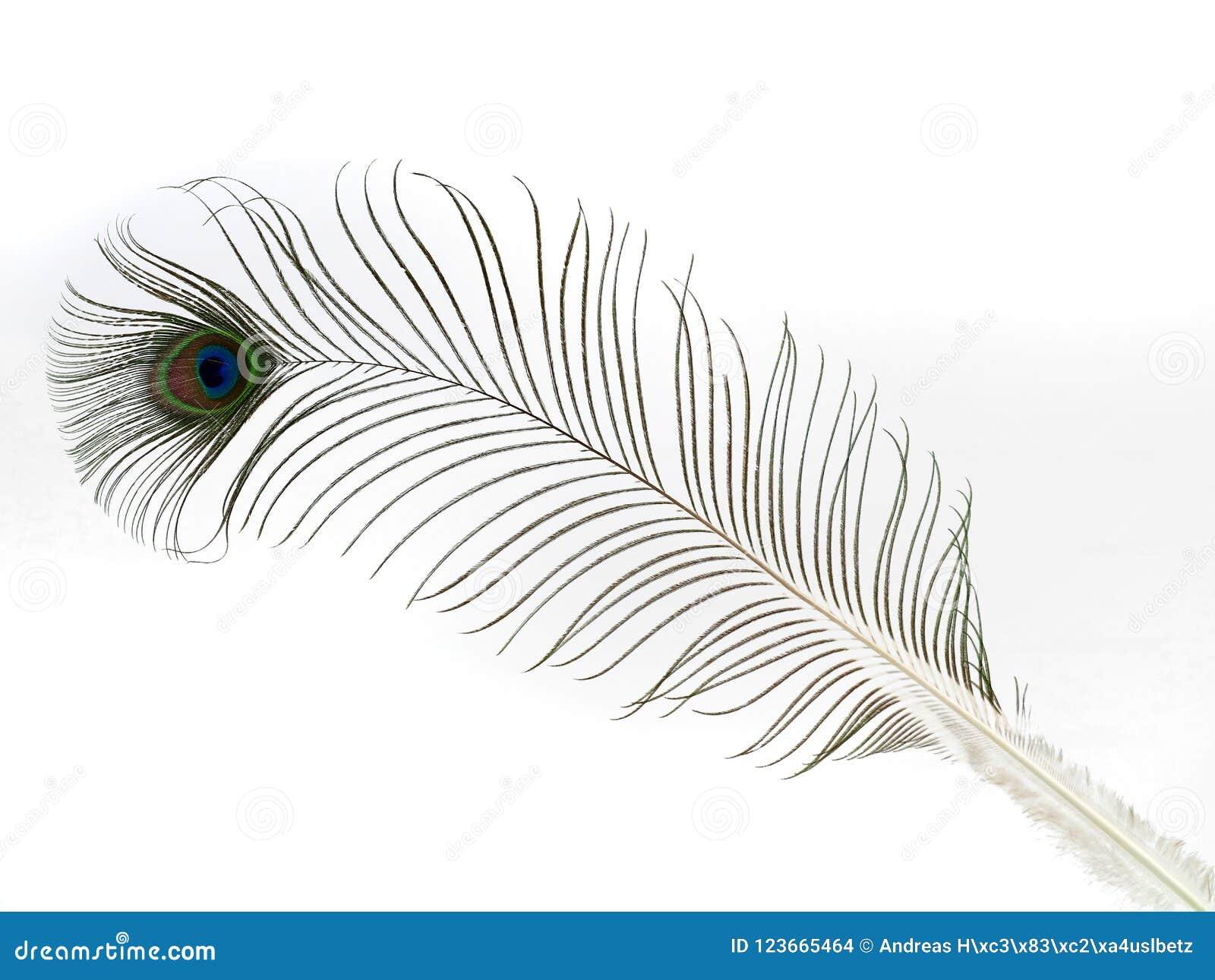 Singola piuma del pavone isolata su fondo bianco