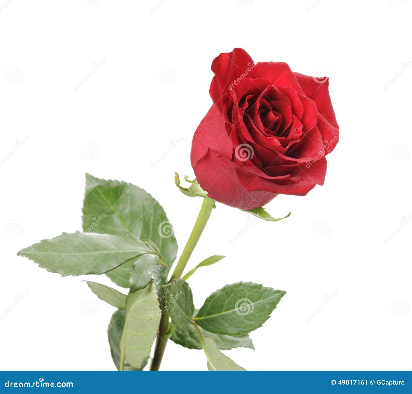 Singola Rosa Rossa Isolata Su Fondo Bianco Immagine Stock Immagine