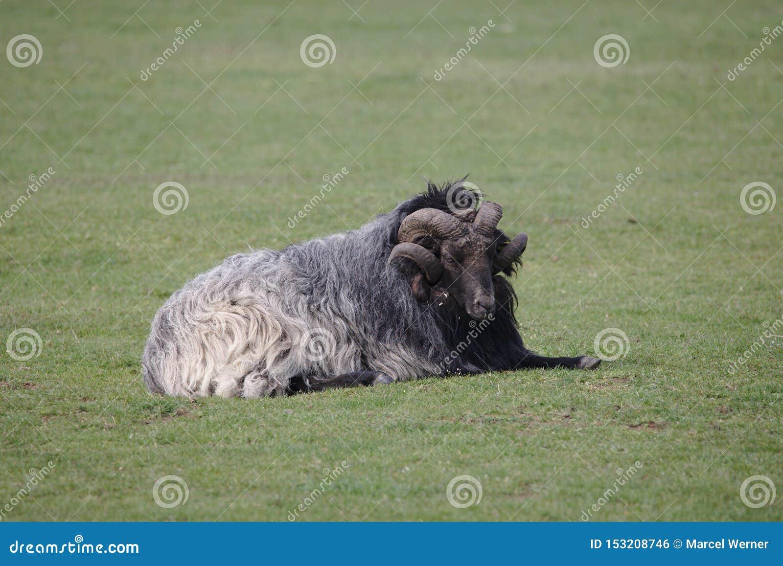 Singole pecore di Heidschnucke che si trovano sul campo