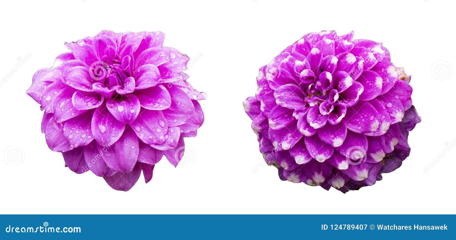 Singoli fiori con l insieme della raccolta isolato gocciolina, concetti di stagione delle pioggie