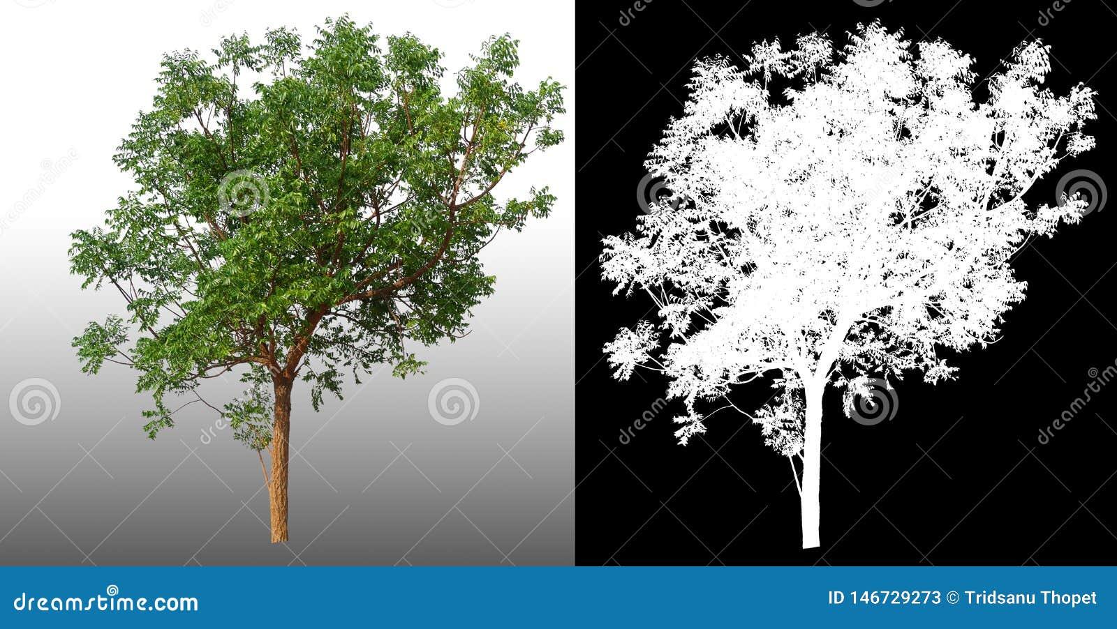 Singolo albero con il percorso di ritaglio e l alfa canale
