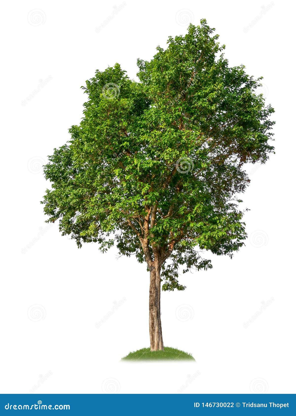 Singolo albero con il percorso di ritaglio