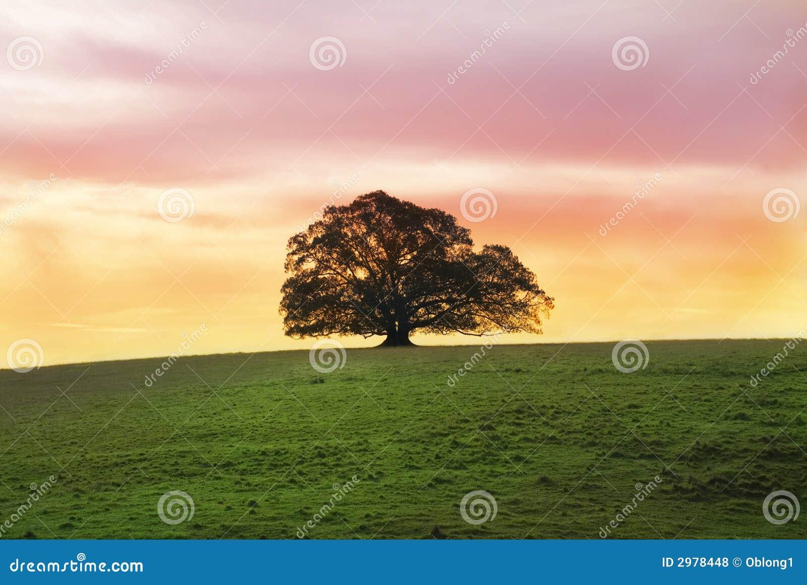 Singolo albero di fico da solo nel campo