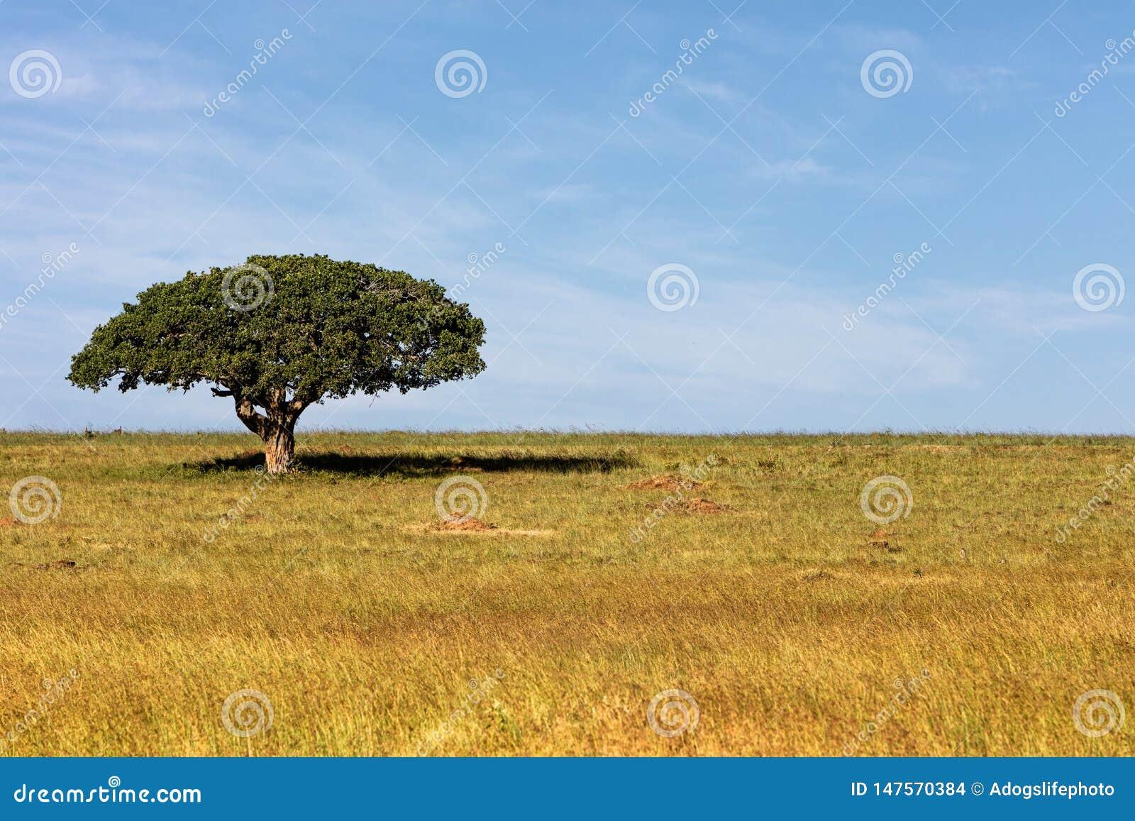 Singolo albero ombreggiato nel campo africano aperto