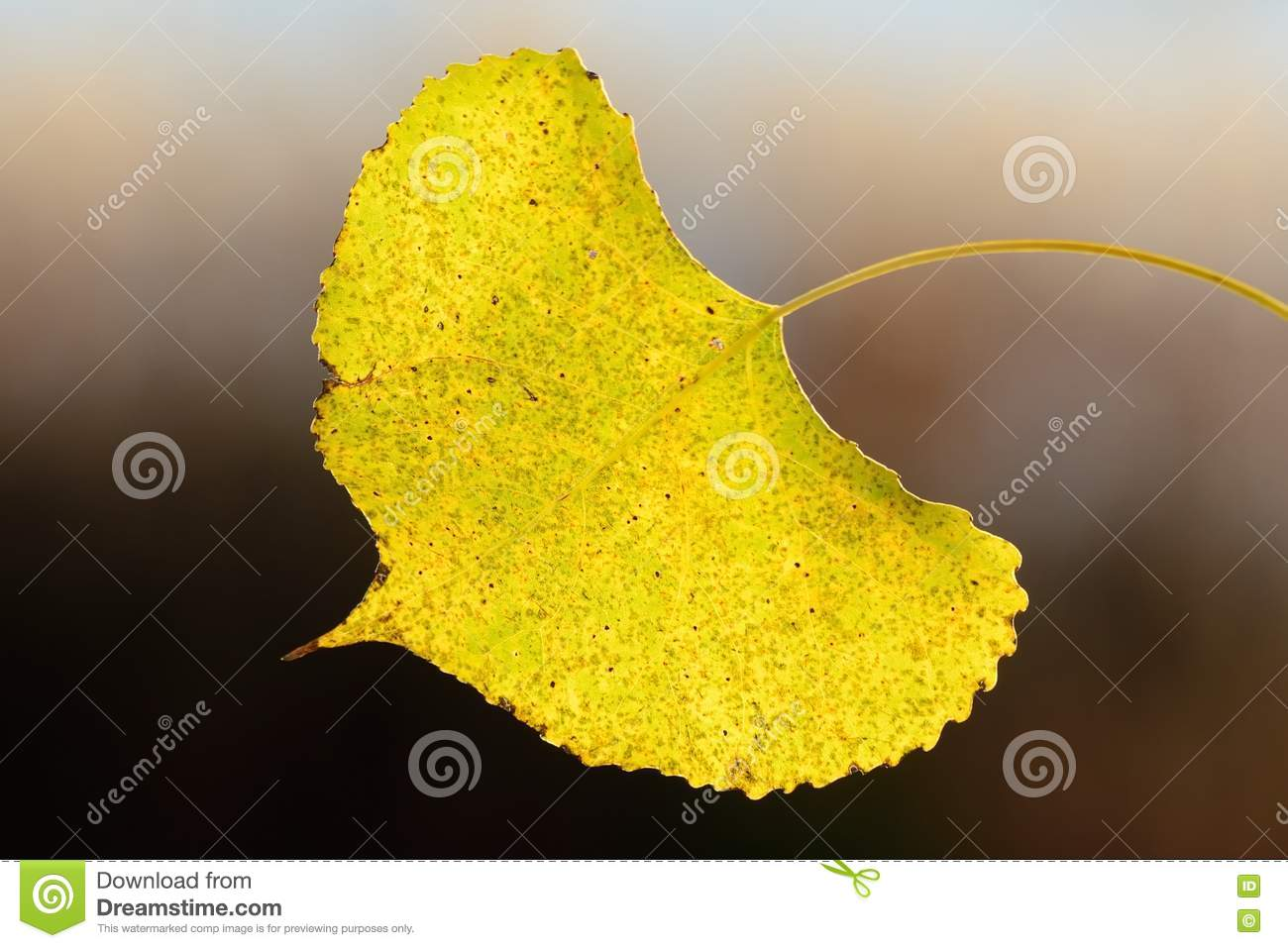 Singolo Aspen Leaf in autunno