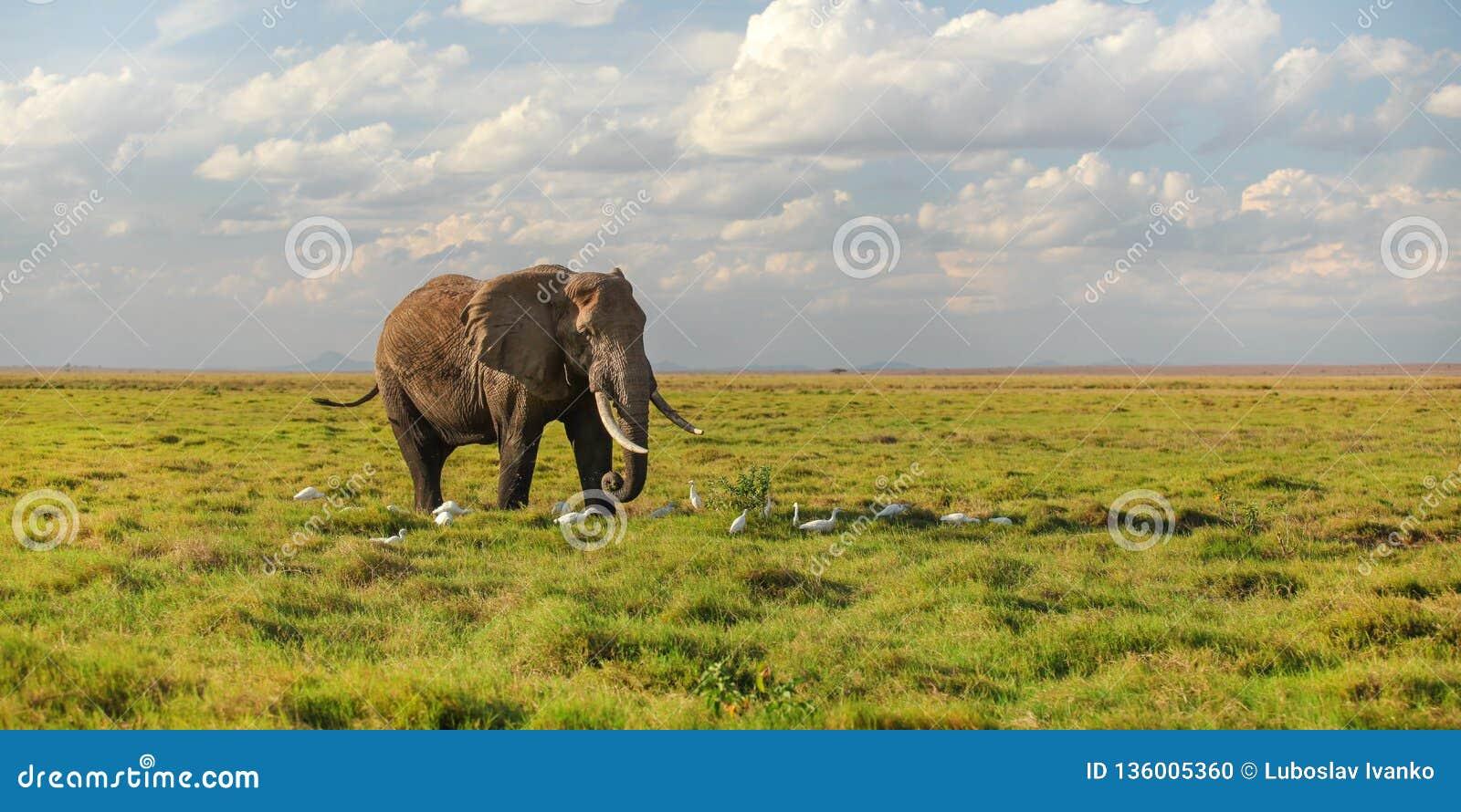 Singolo loxodonta africana africano dell elefante del cespuglio che cammina sulla savanna, uccelli bianchi dell airone ai suoi pi