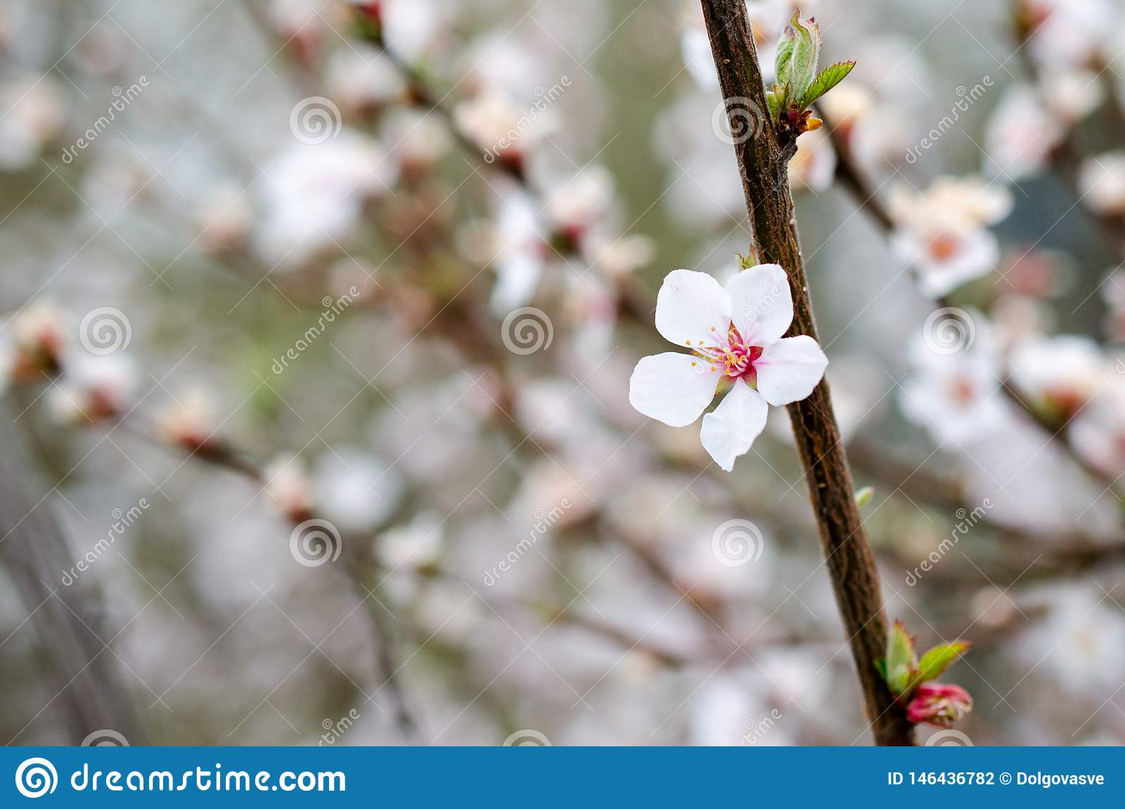 Singolo primo piano bianco dei fiori della ciliegia