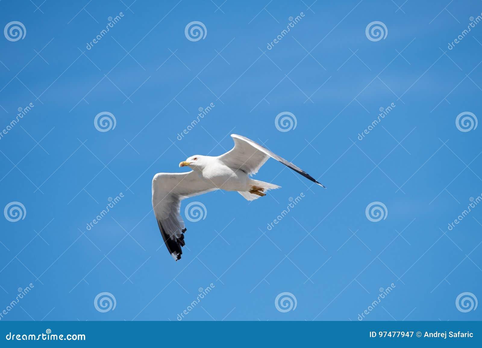 Singolo uccello di volo del gabbiano con le ali aperte su chiaro cielo blu