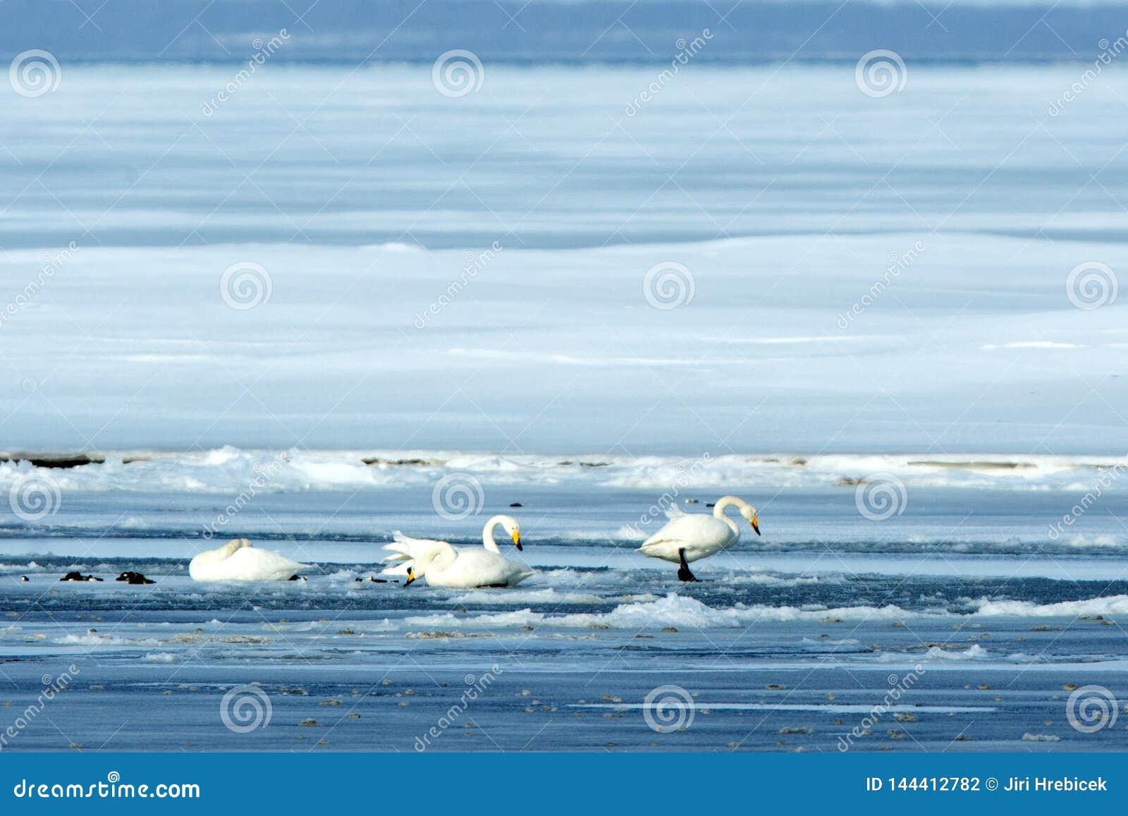 Singschwan oder Cygnus Cygnus, der auf See im Winter, Hokkaido, Japan, Schwansee, birding Abenteuer in Asien, schönes elegantes s