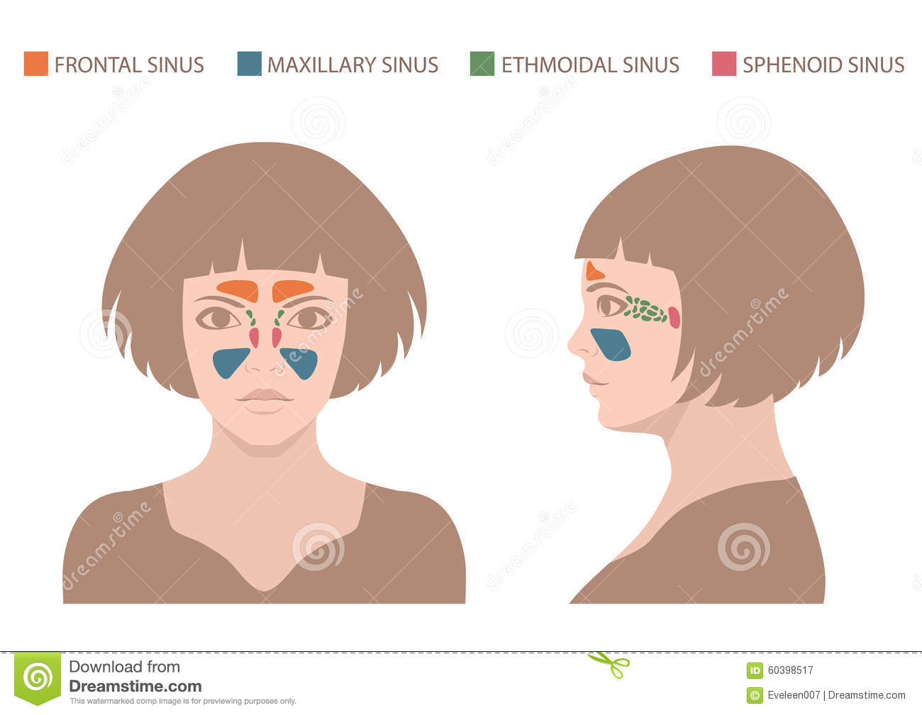 Sinus Anatomy Human Respiratory System Stock Vector Illustration