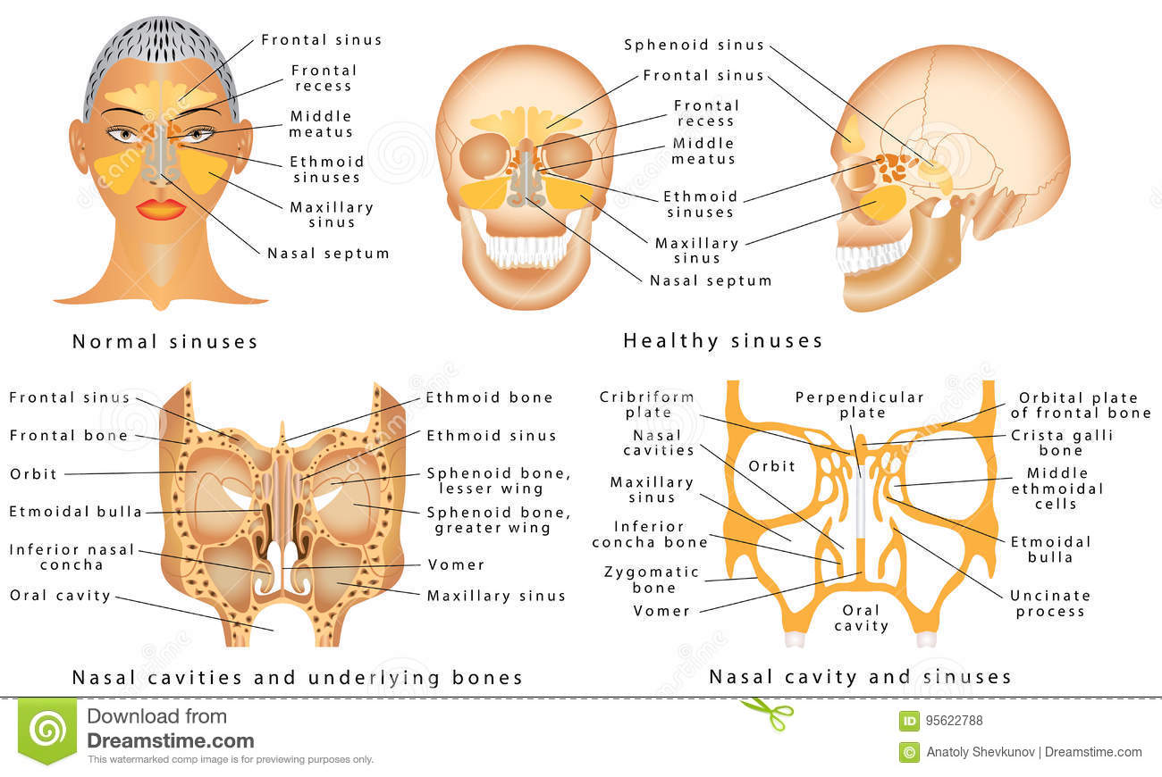Sinuses Of Nose Stock Vector Illustration Of Breathing 95622788