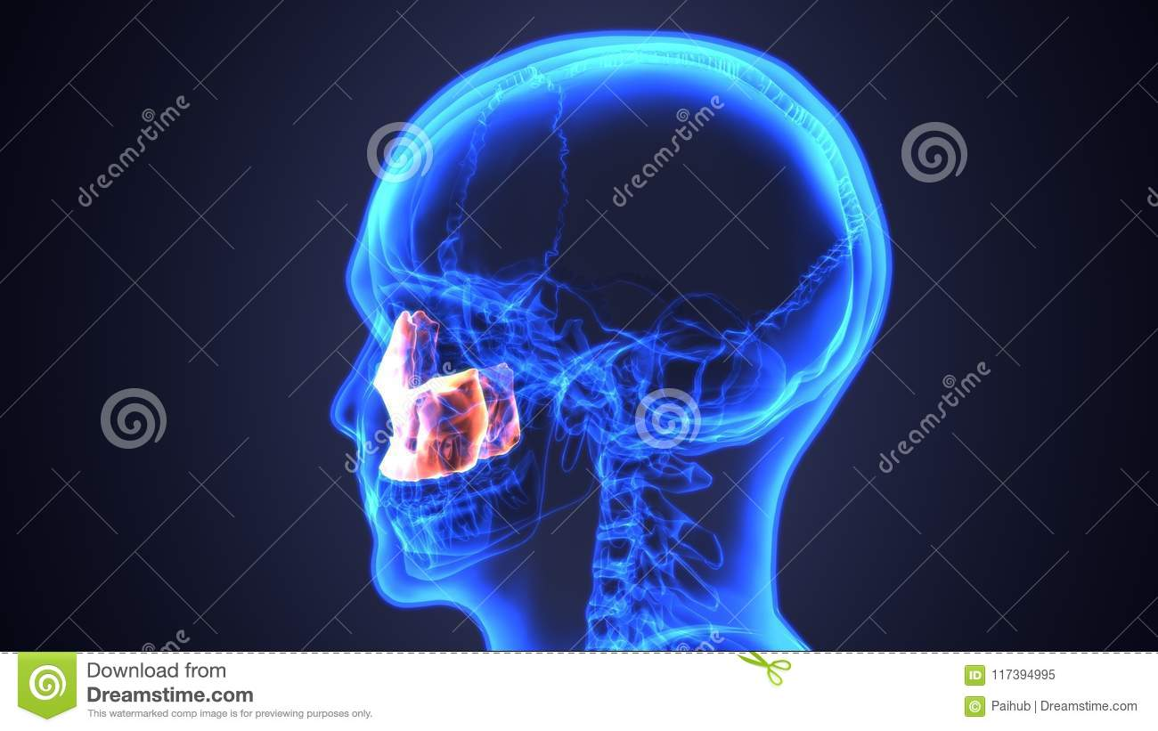 Sinusitis Of Human Skull With Inflamed At Sinus 3d Illustration