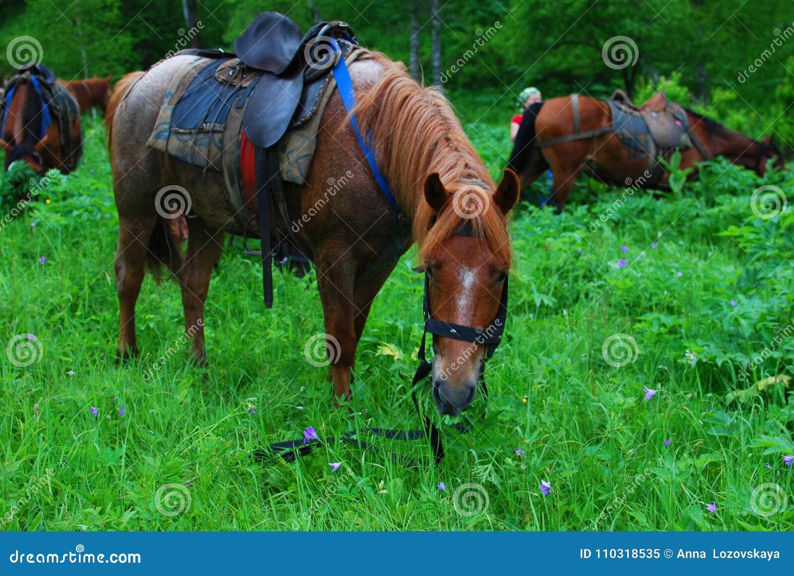Siodłająca końska łasowanie trawa na przerwie
